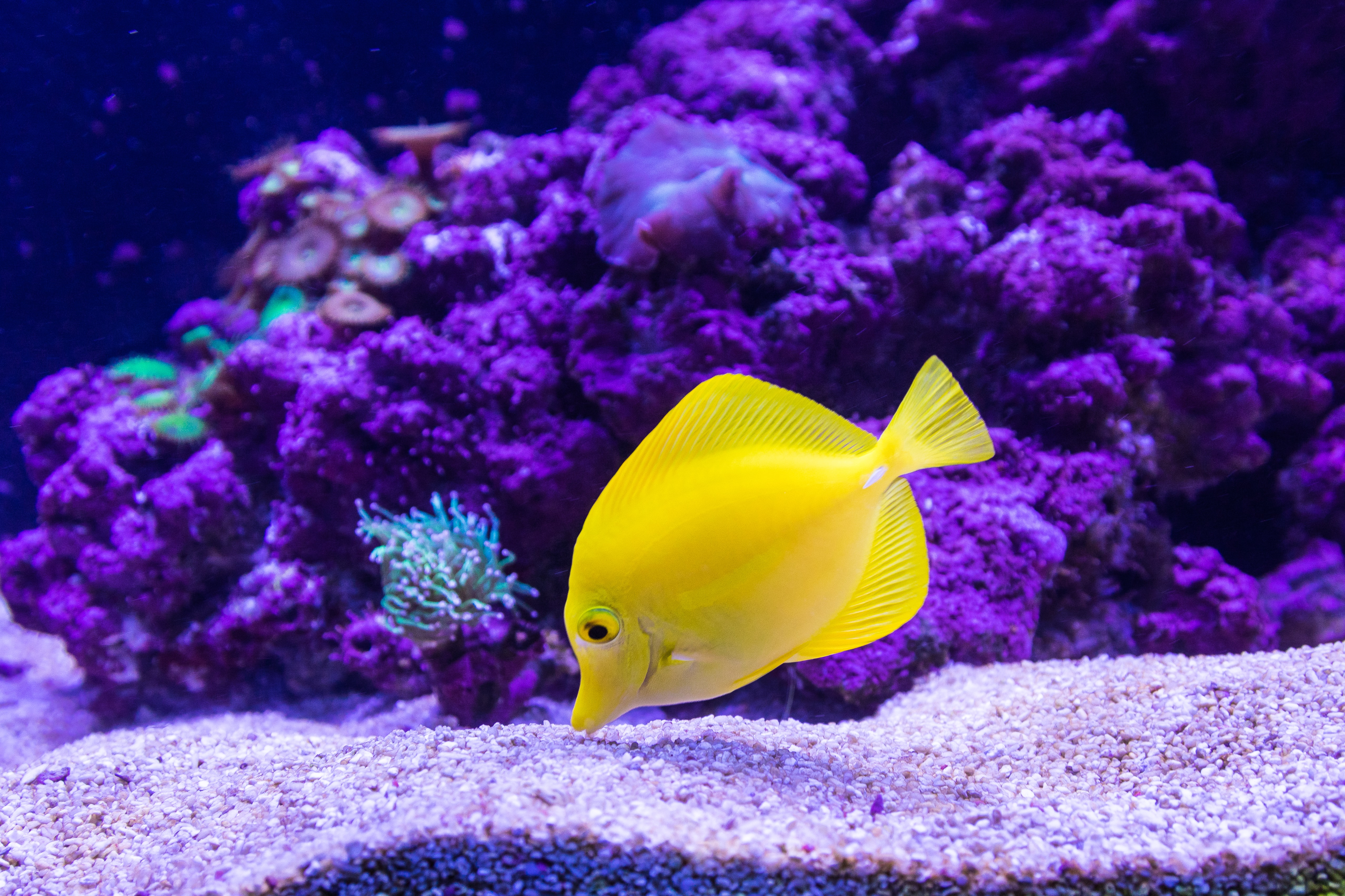 yellow Oscar fish photography