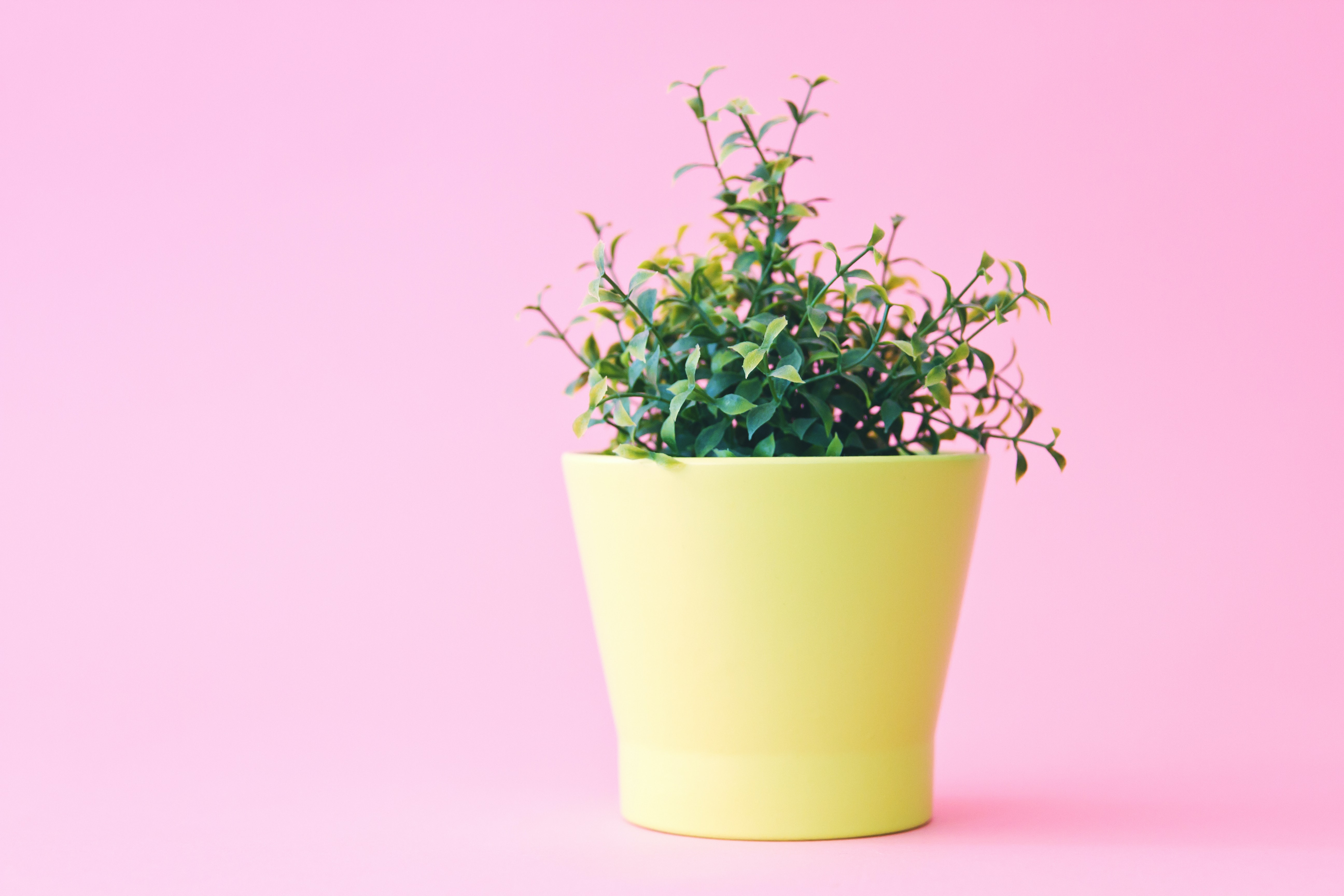 A pot of pink flowers with a pink background.