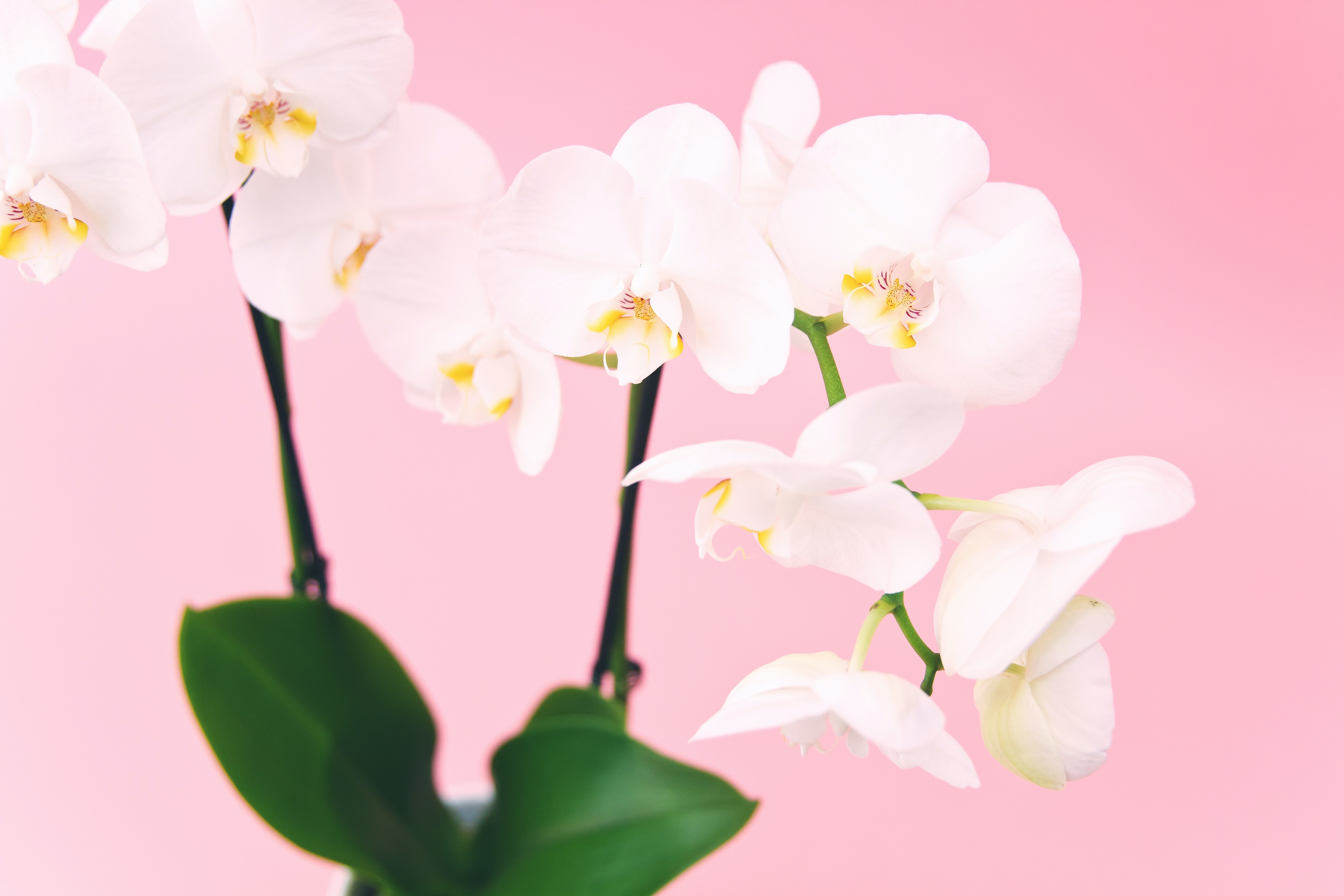 White flowers with a pink background.