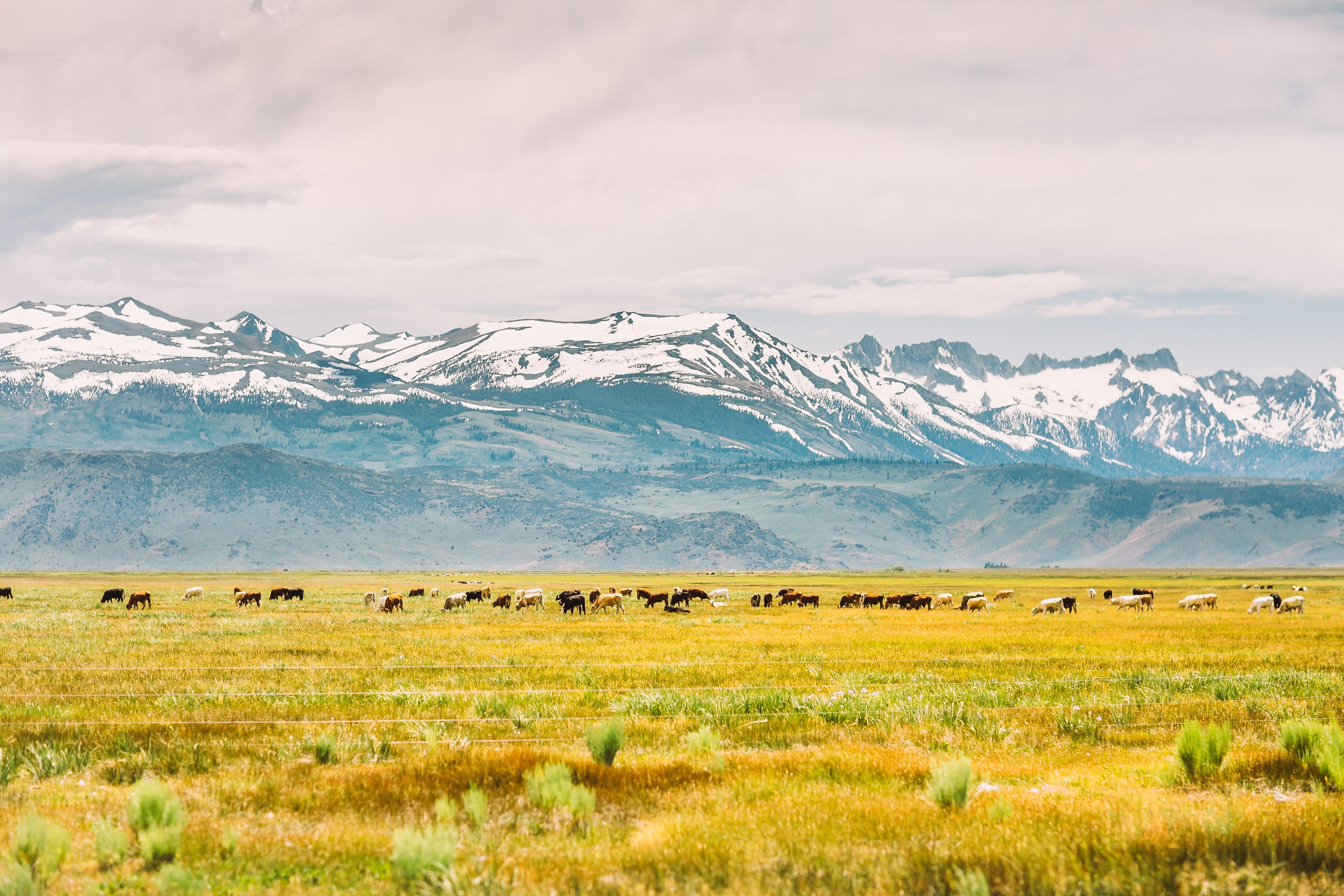 Cattle crossing a field with snow covered mountains in the background.