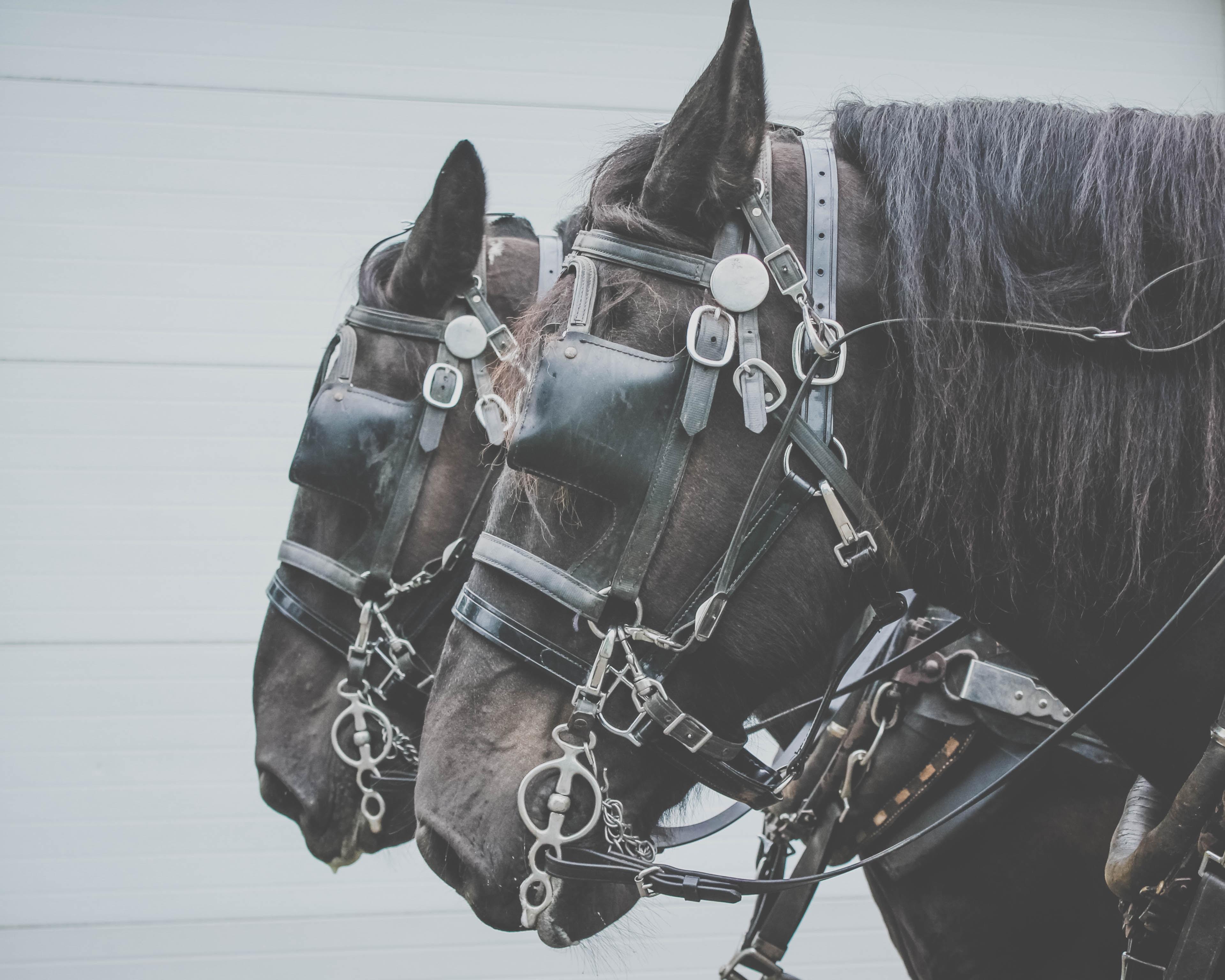 two black horses