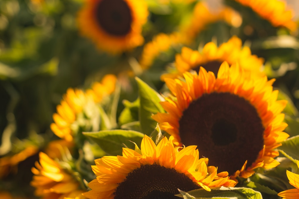 shallow focus photography of sunflowers
