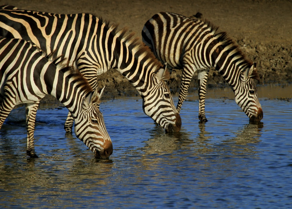three zebras drinking water on river