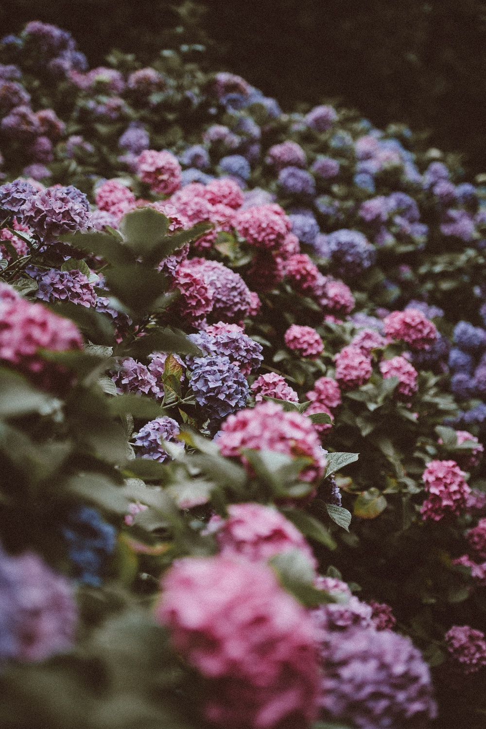 shallow focus photography of pink and purple flowers