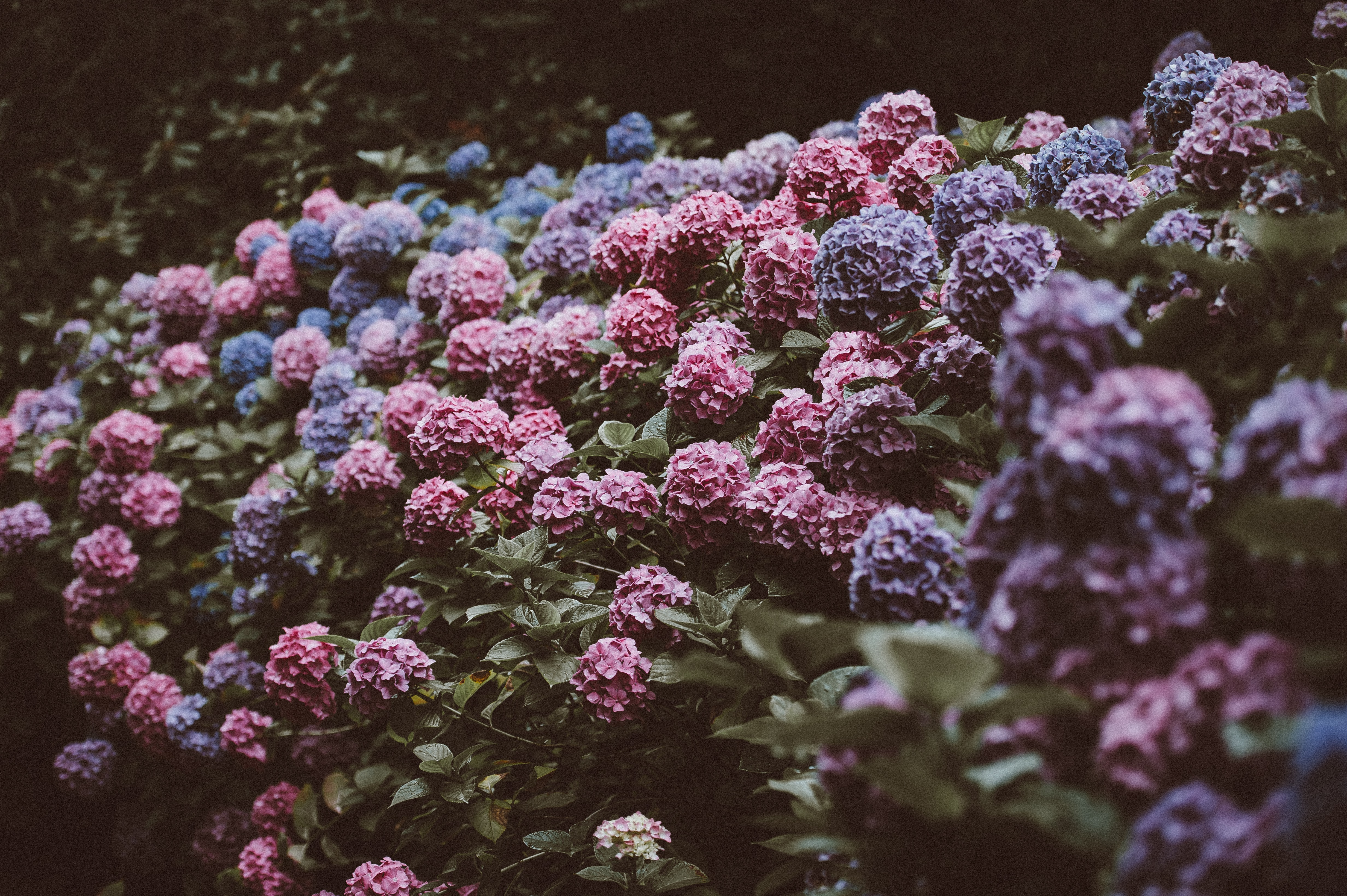 tilt shift lens photo of purple and pink flowers