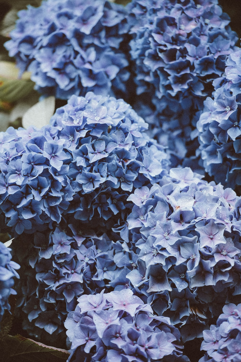 500 blue flower pictures hd download free images on unsplash cluster of purple hydrangea flowers izmirmasajfo
