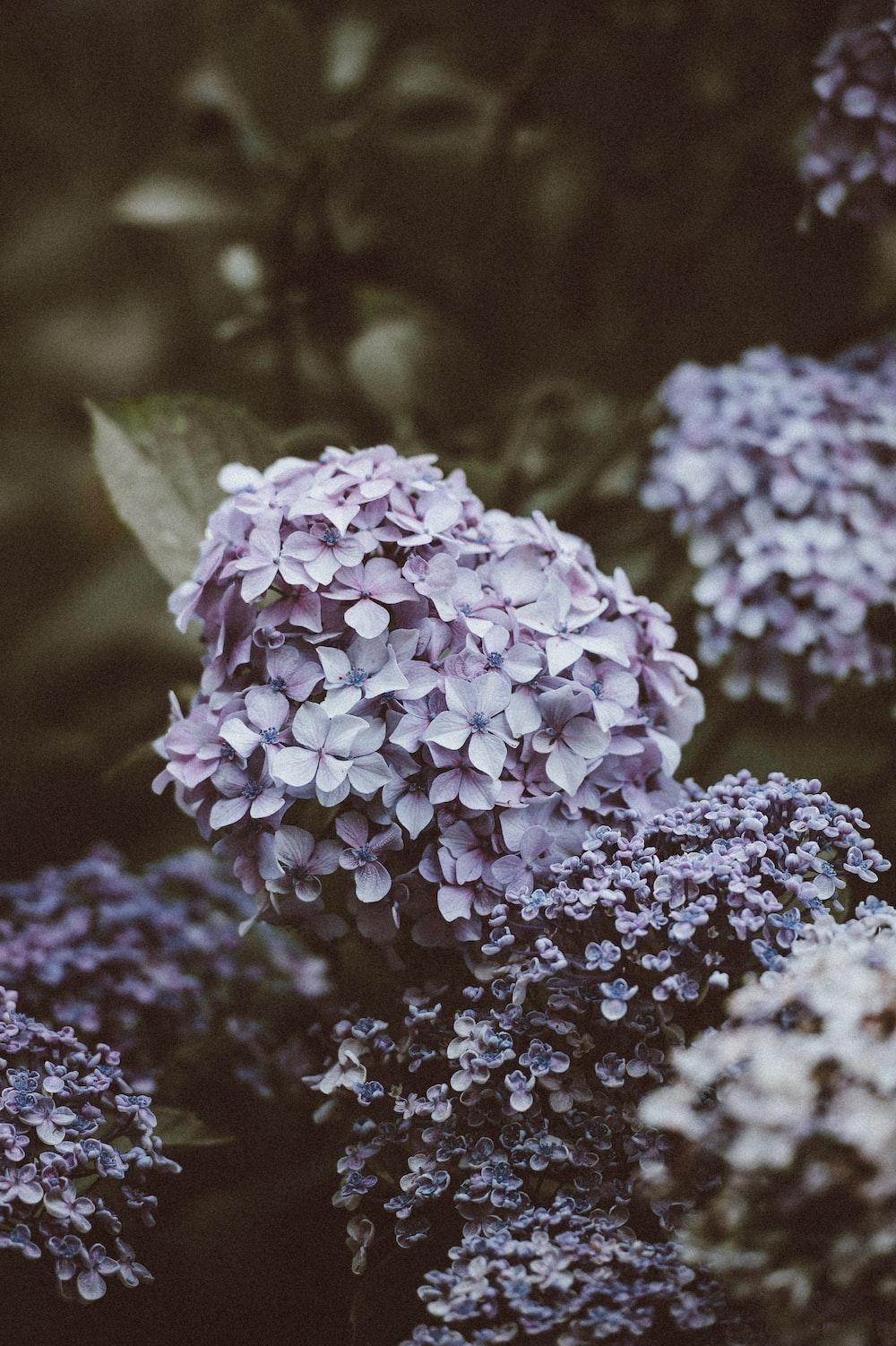 selective focus photography of purple hydrangeas flowers