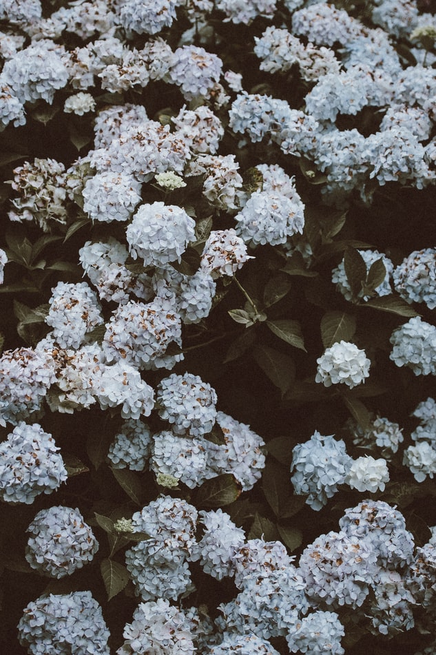 Climbing Hydrangea | Stunning Climbing Plants Perfect For Trellis And Arbors
