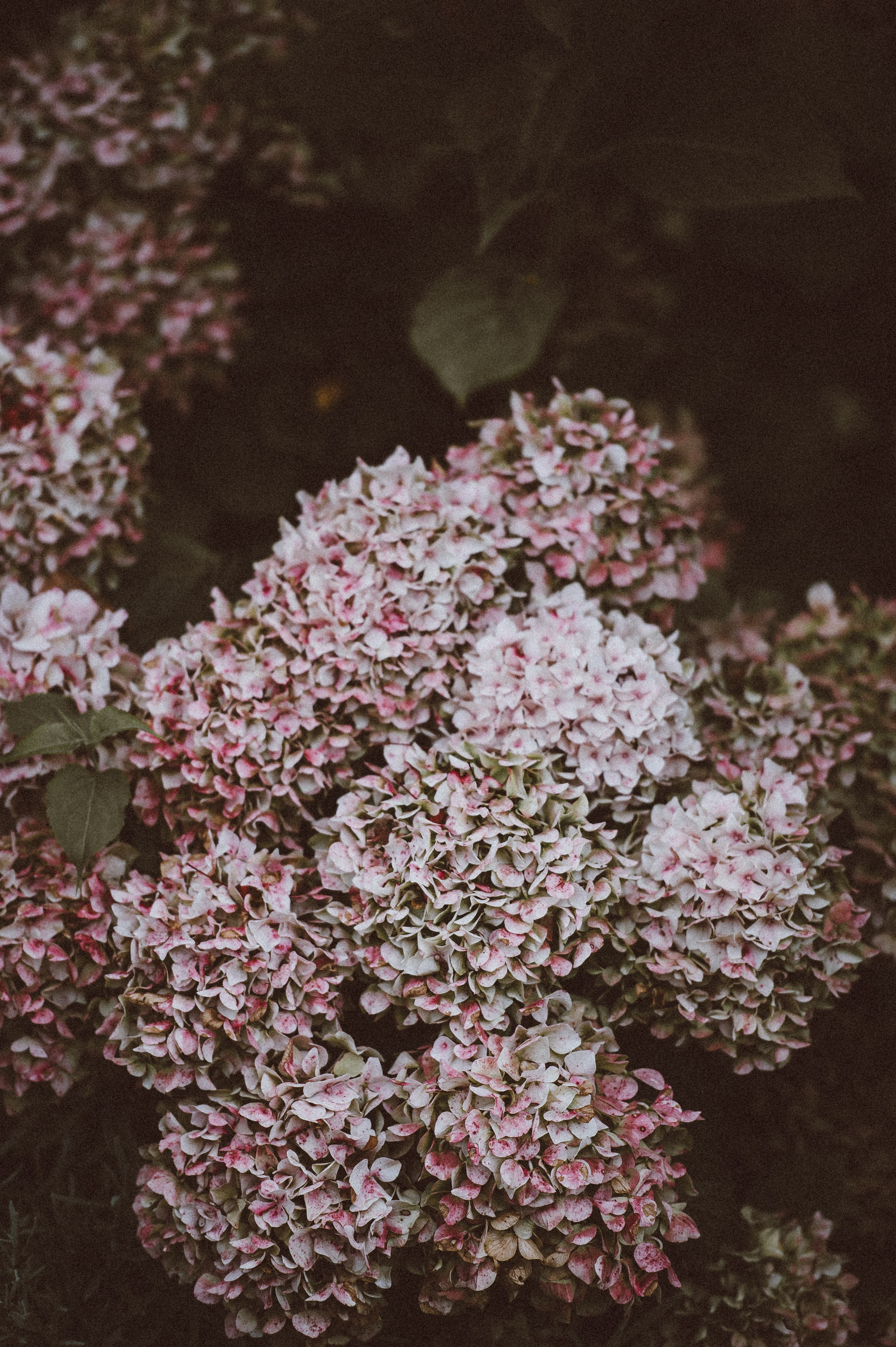 pink-and-white cluster flowers