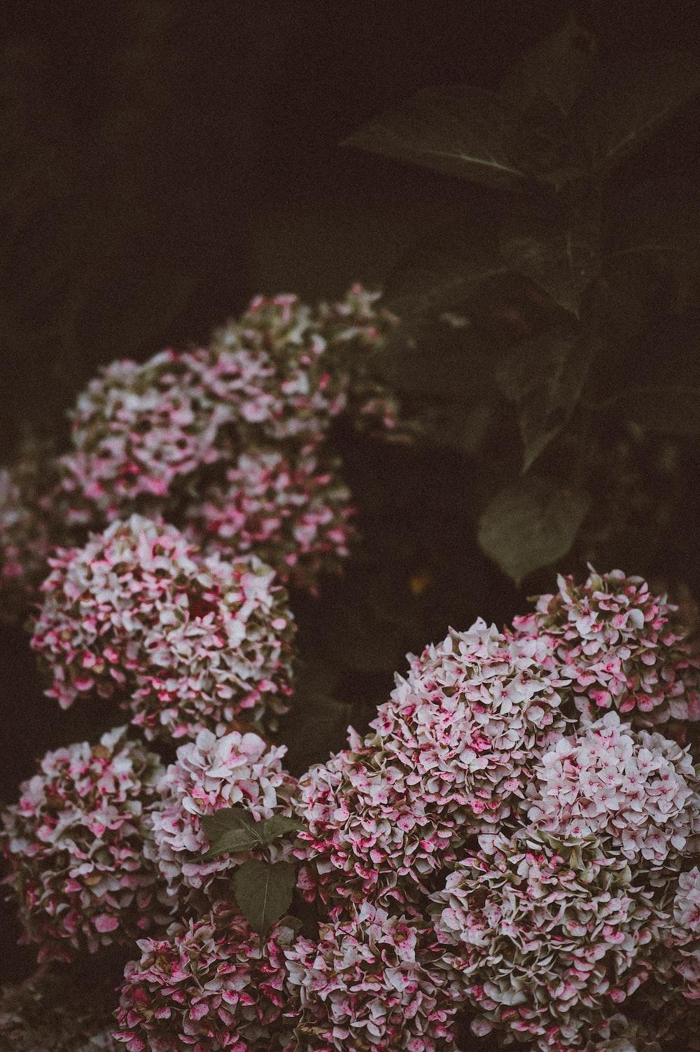 pink cluster flower