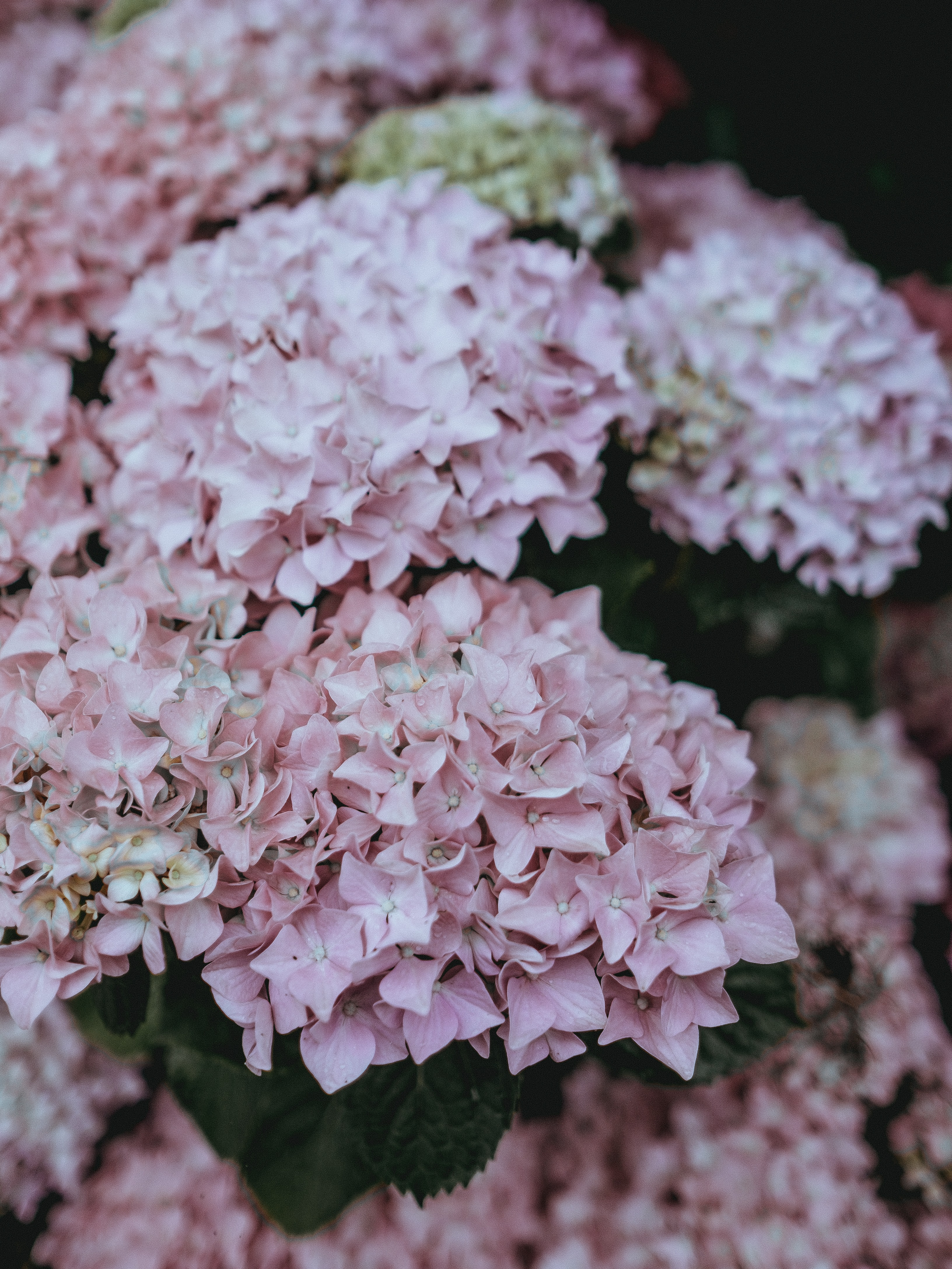 closeup photo of pink petaled flowers
