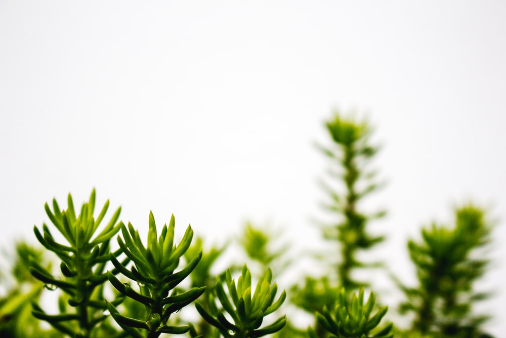 shallow focus photography of green pinecone