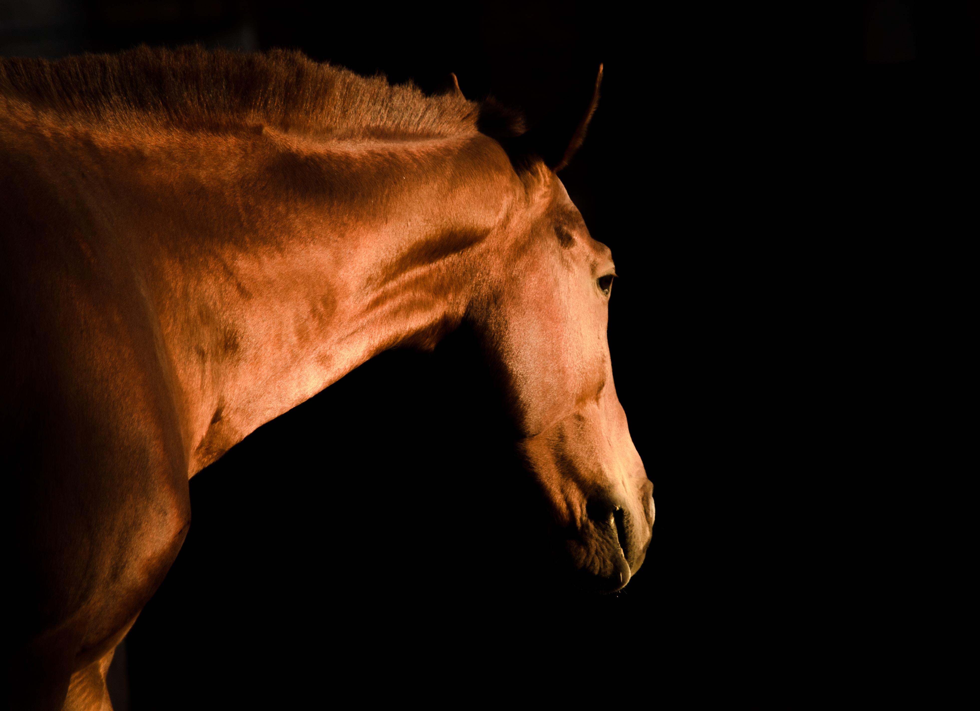 brown stallion photo