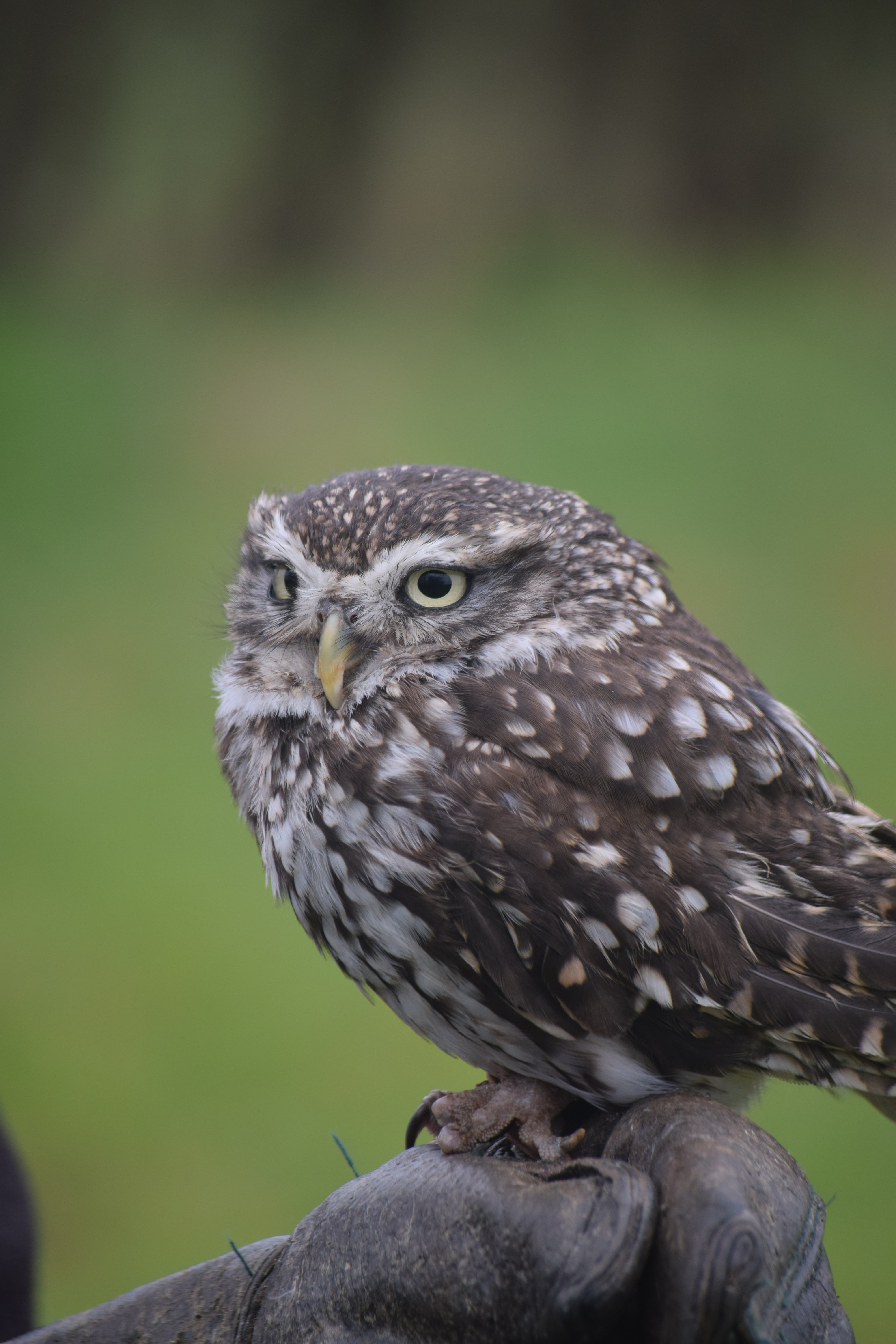 gray and white owl