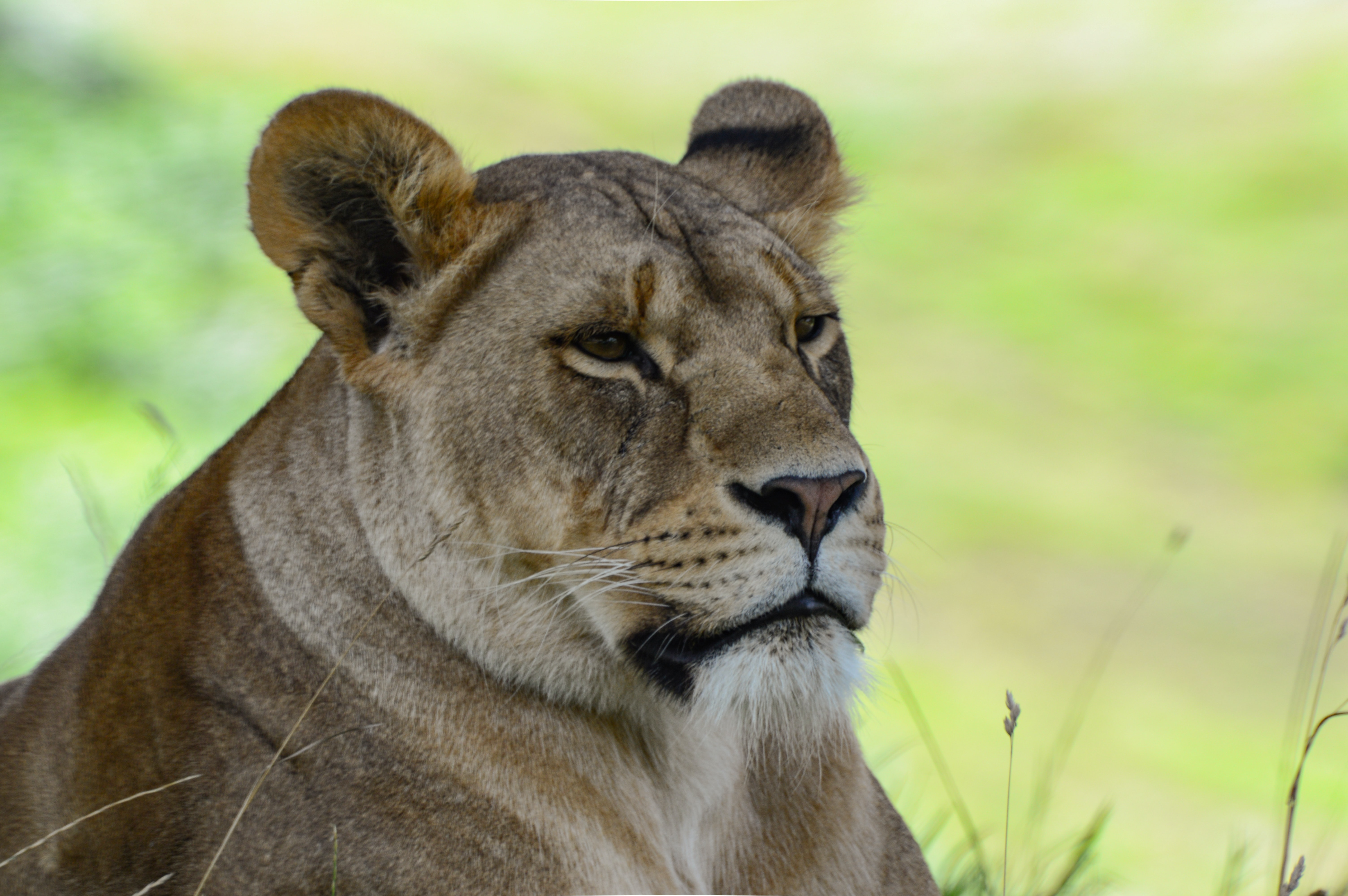 lioness lying on green grass field
