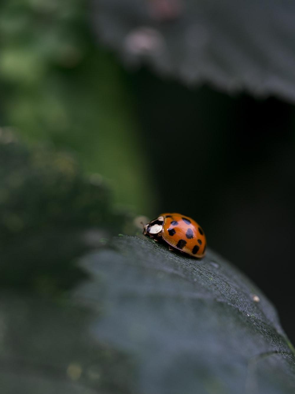 red ladybug on black leaf