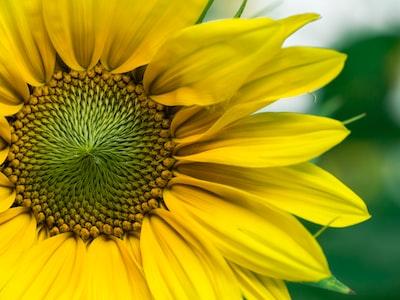 closeup photo of yellow sunflowers