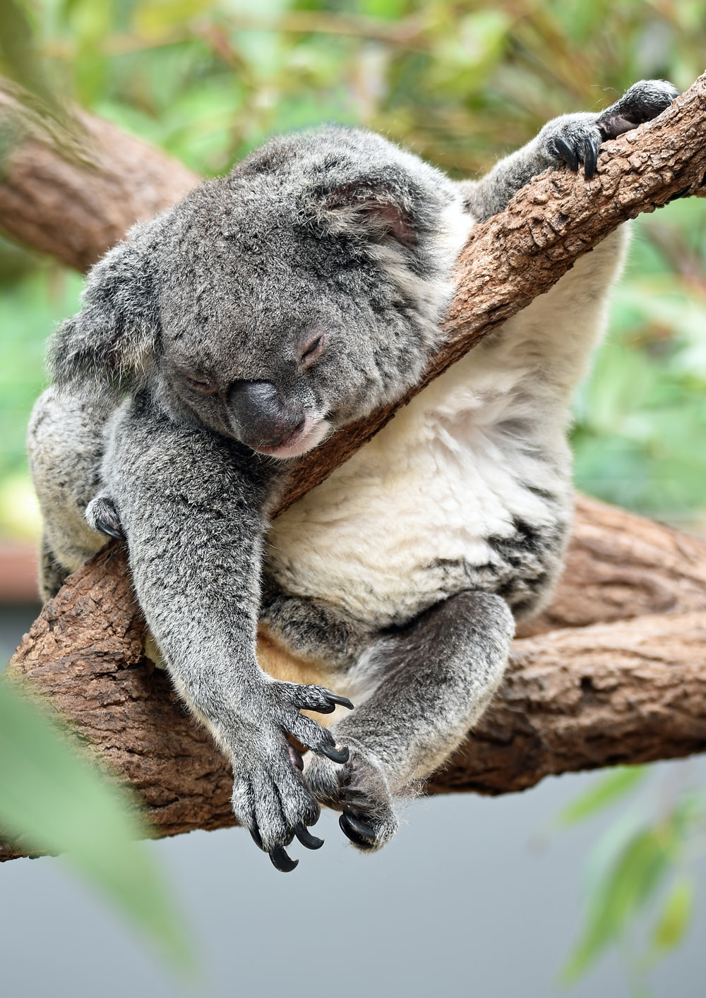 Time Out Time Out For A Koala Means Hd Photo By David Clode