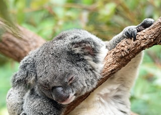 koala on bough