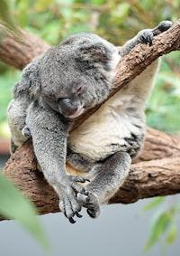 koala on bough