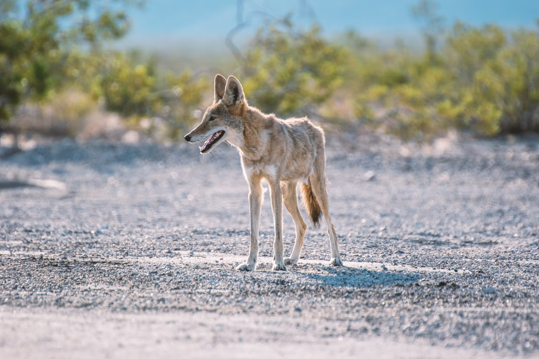 We found a young koyote hunting in death valley.  As we took the pictures it walked in our direction and we had to get back in our car to stay safe. It watched us carefully all time long.