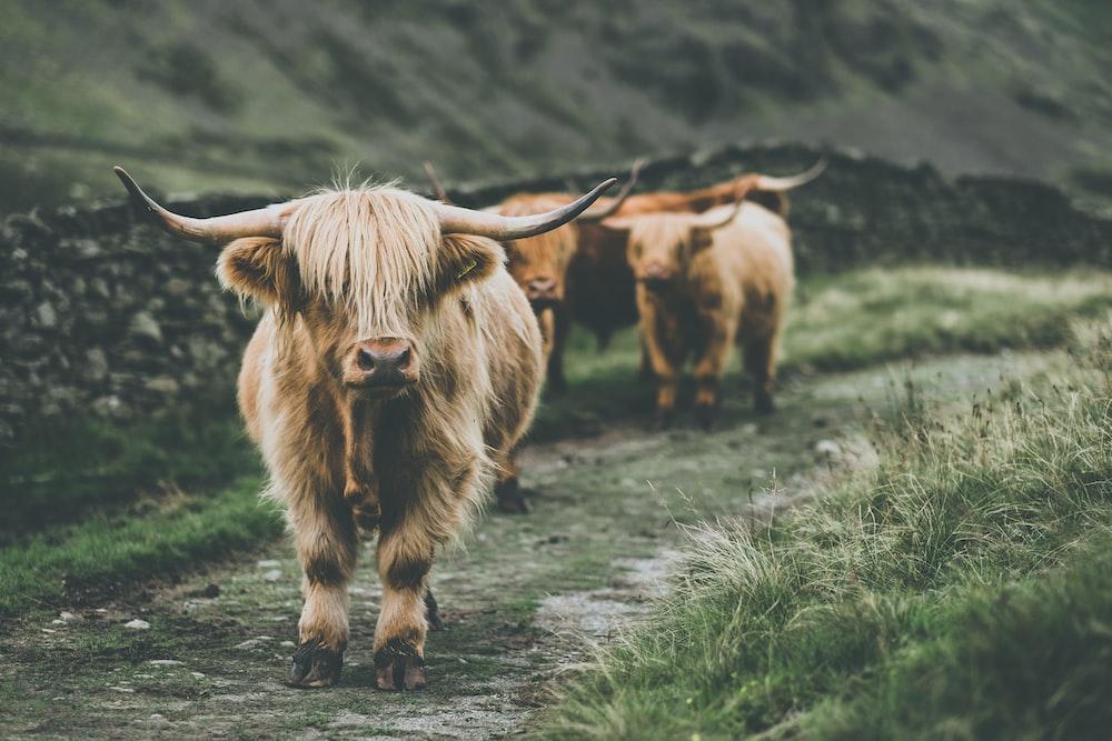 cow passing through grass