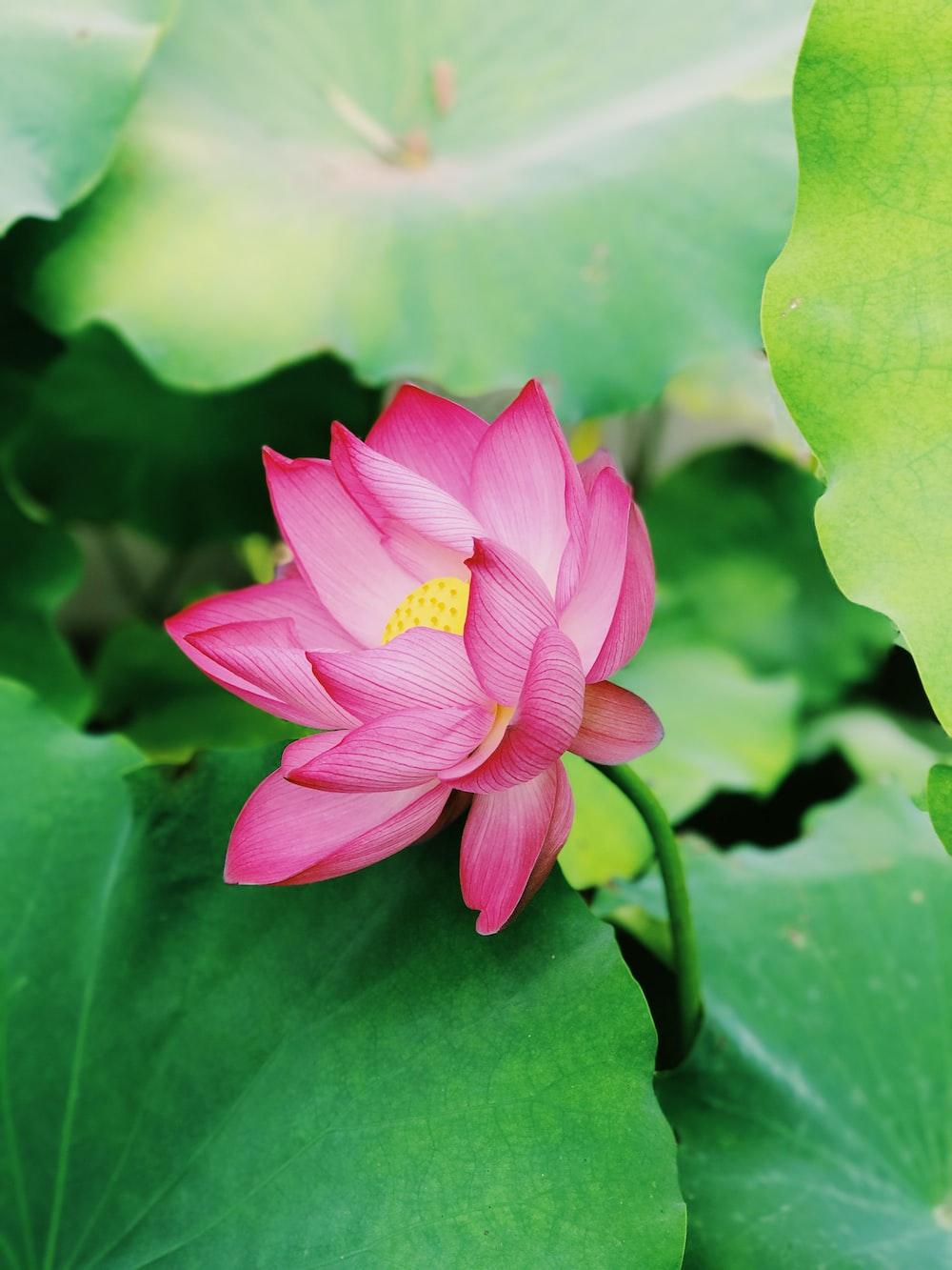 closeup photography of pink lotus flower
