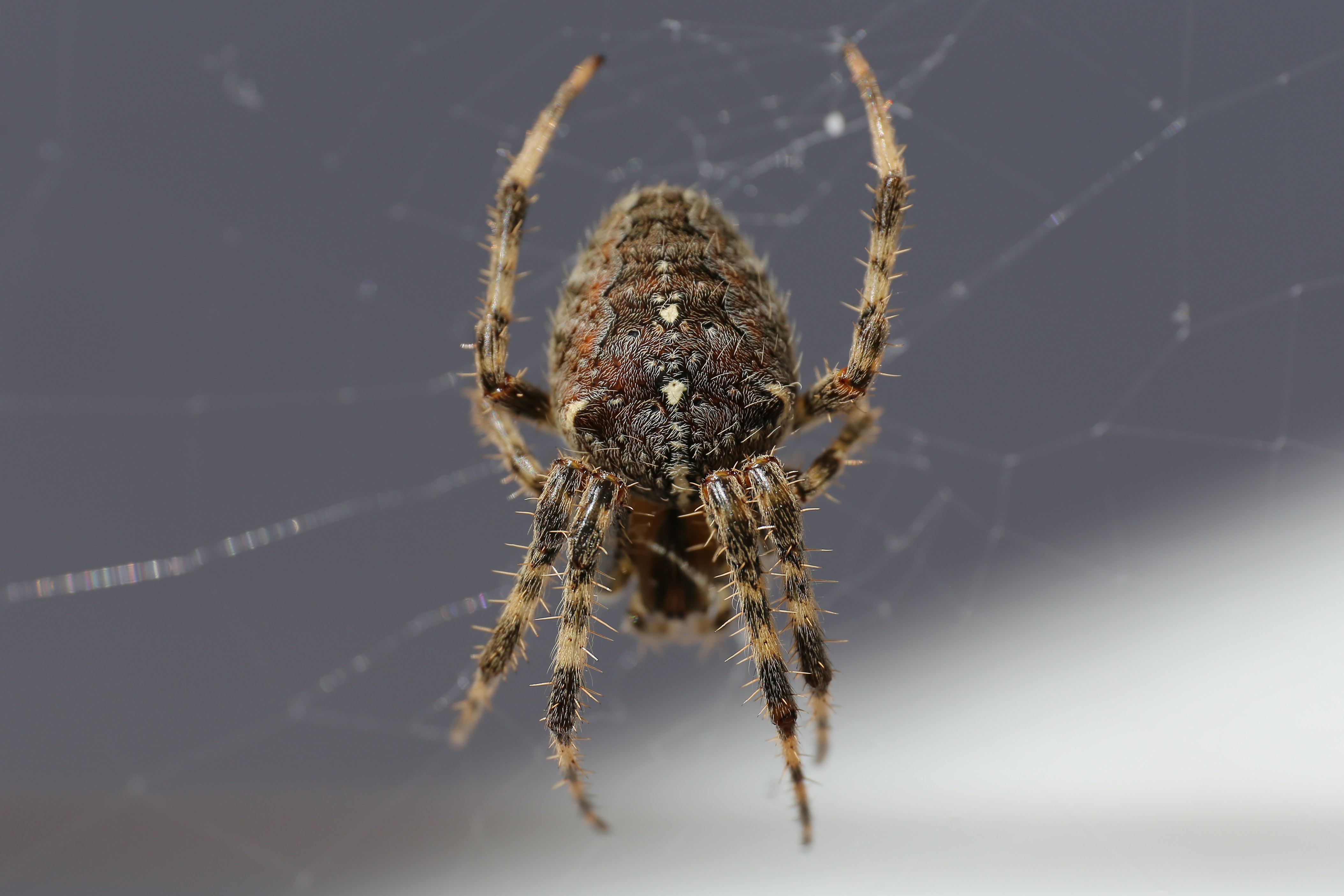 closeup photo of brown spider on web