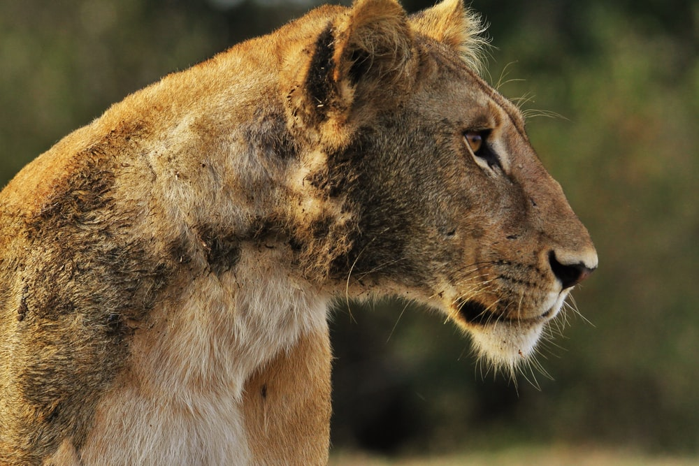 wildlife photography of lioness