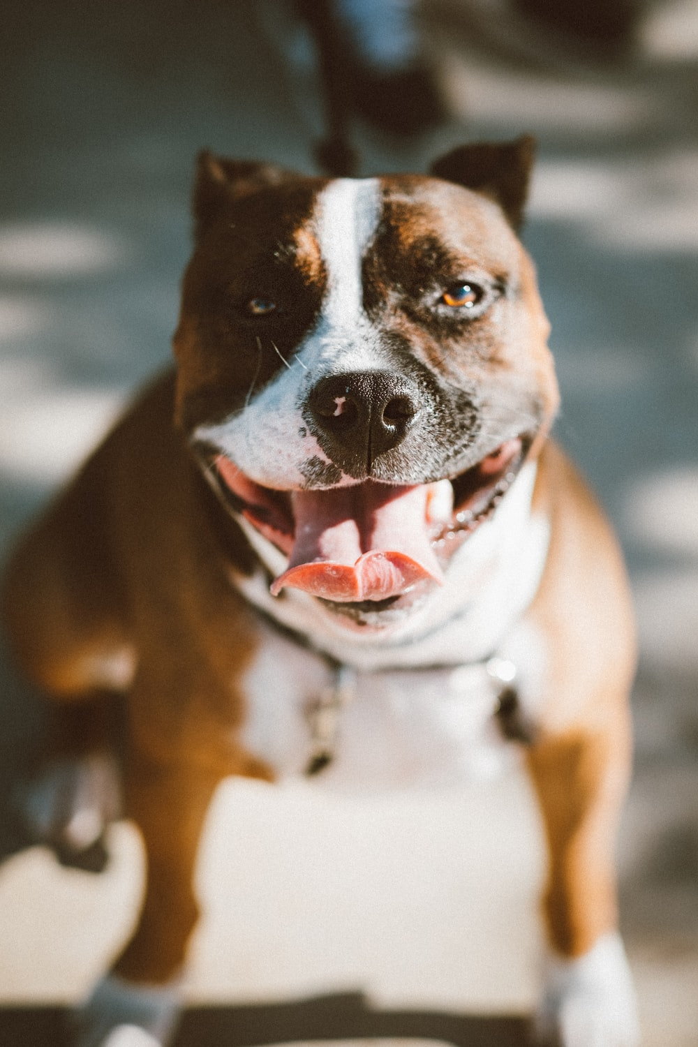 close up photo brown pit bull