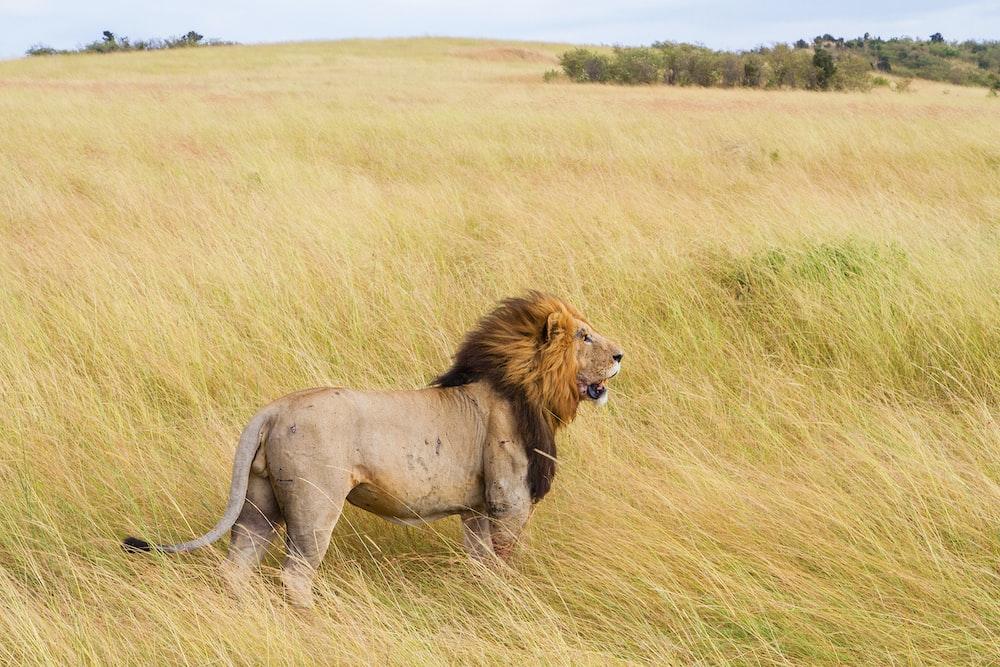 brown lion on grass field during daytime