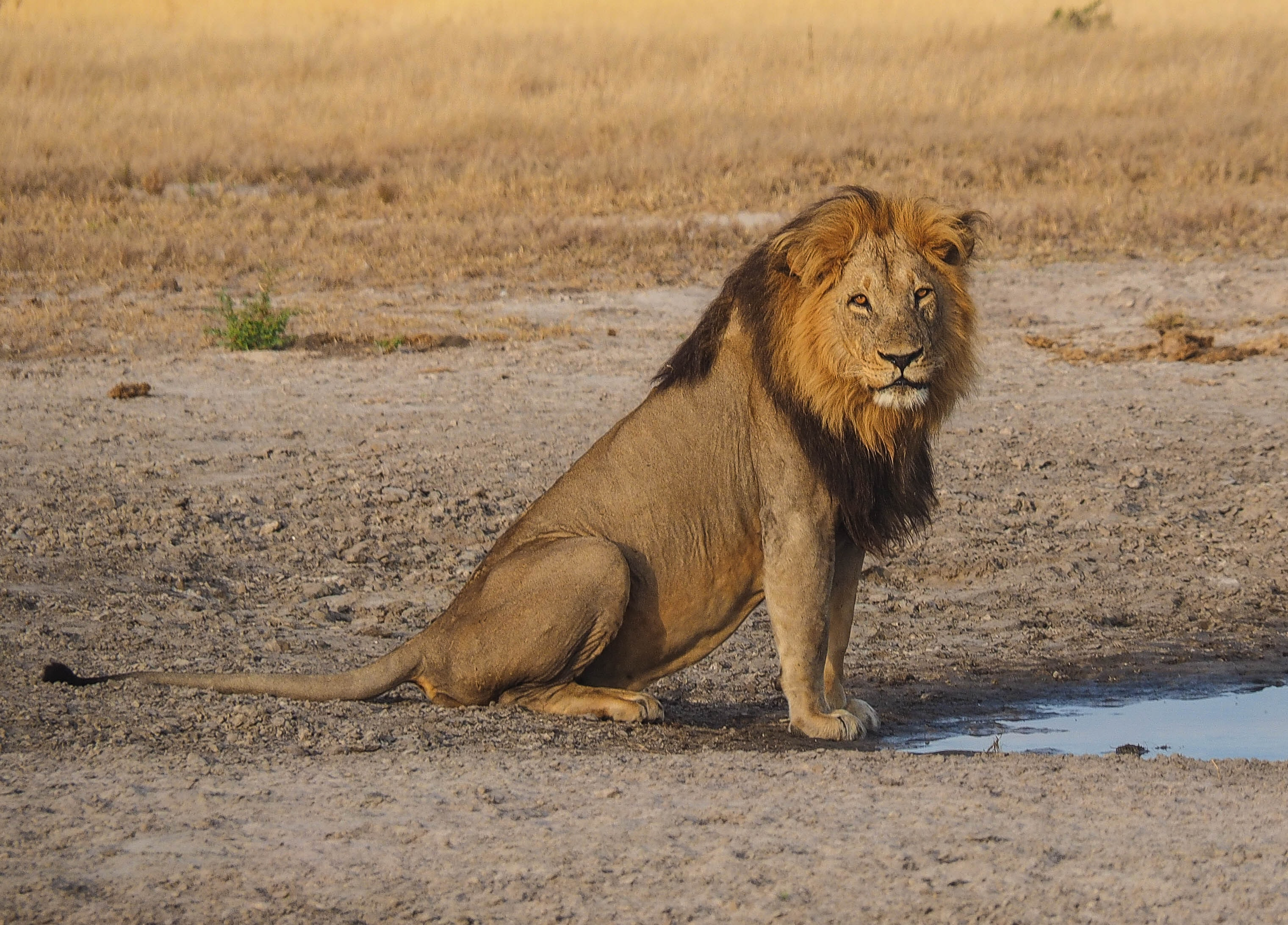 brown lion on land near body of water