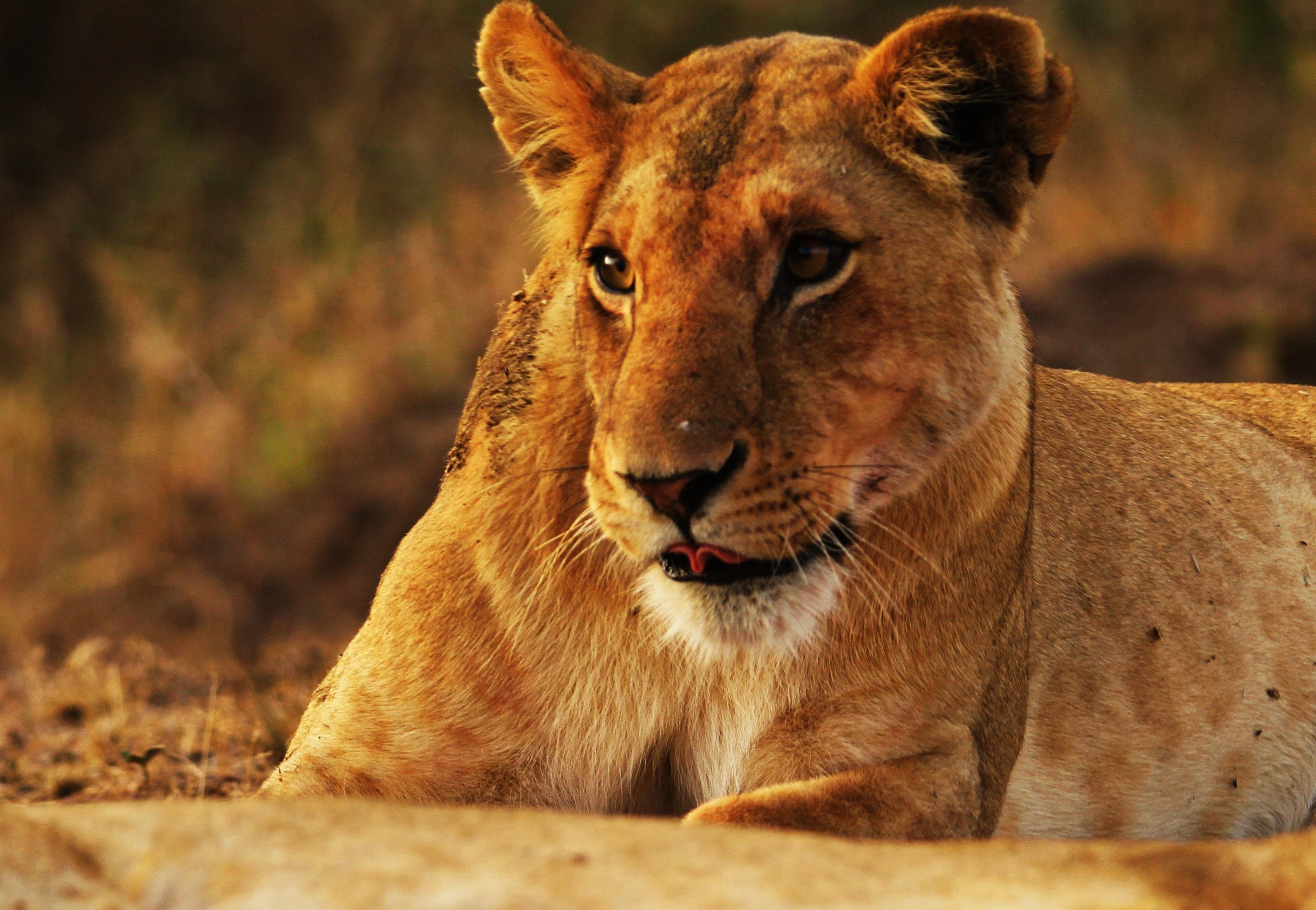 closeup photo of lioness