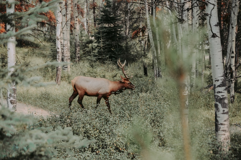 brown reindeer walking in forest