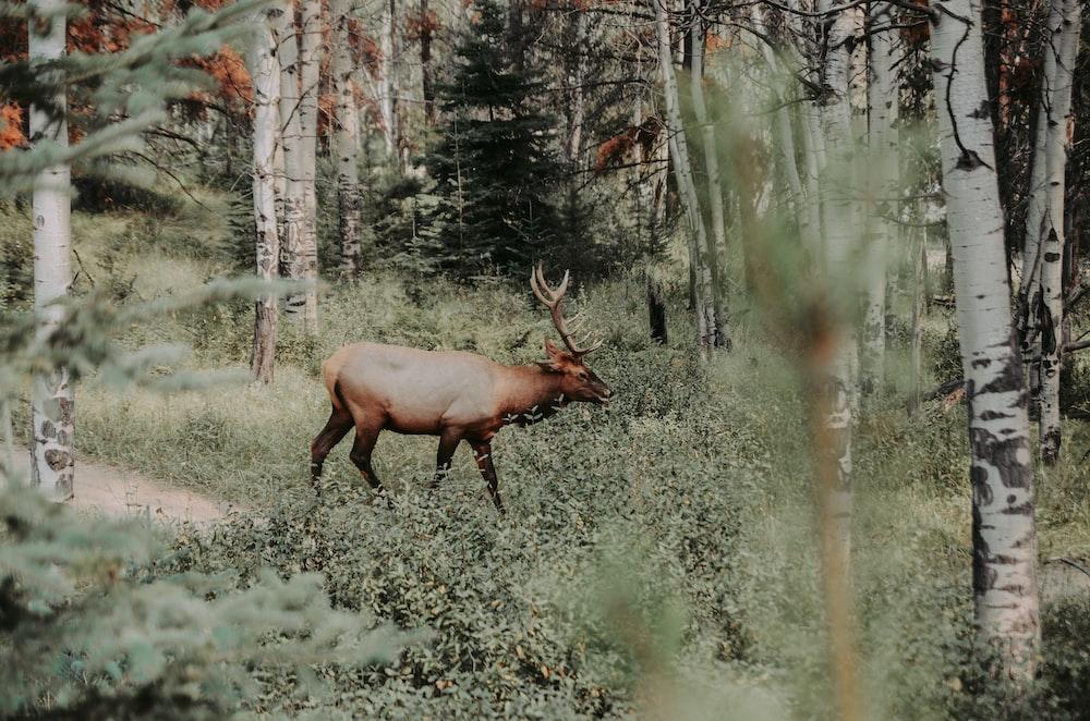 brown reindeer walking in forest