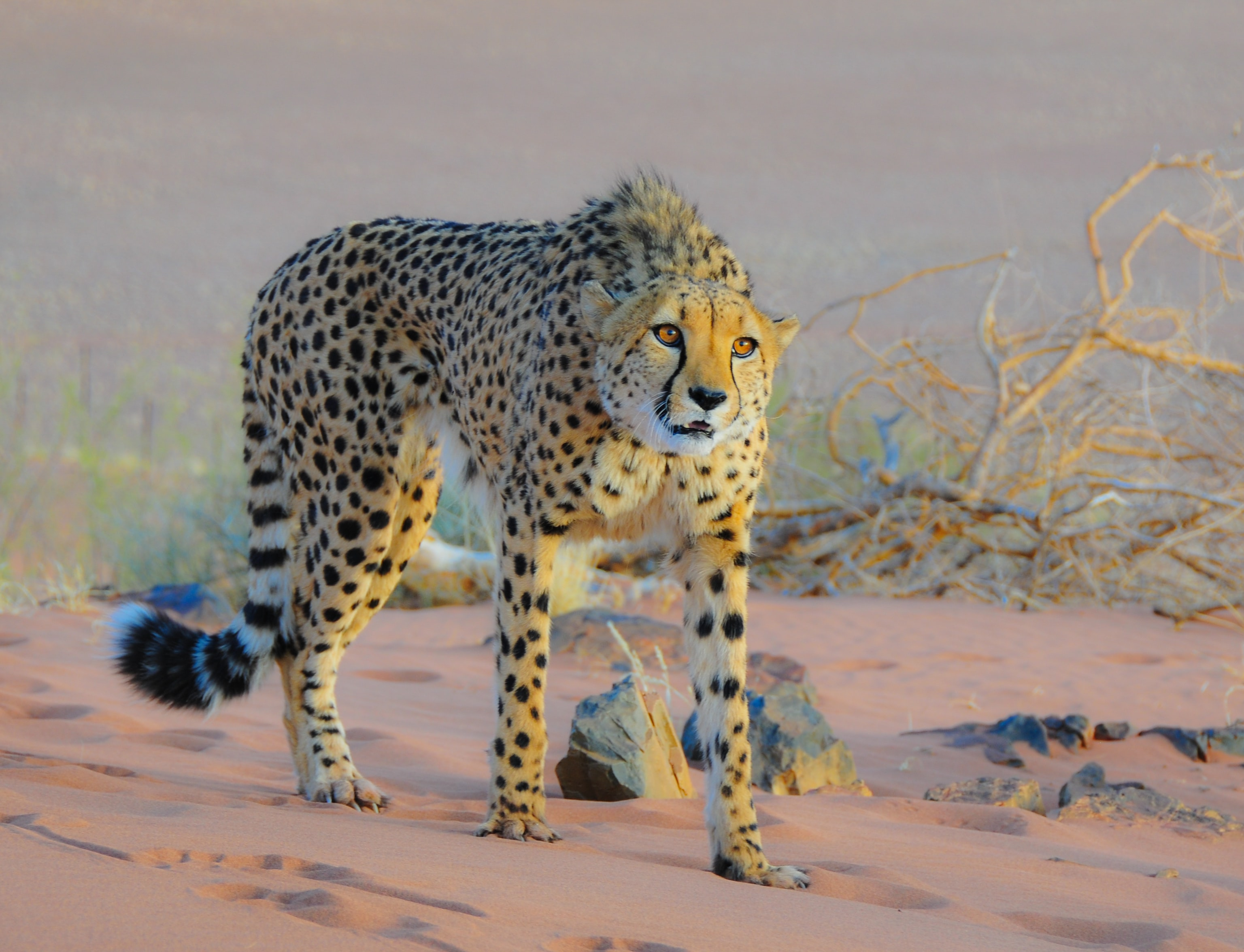 shallow focus photography of cheetah in savanna