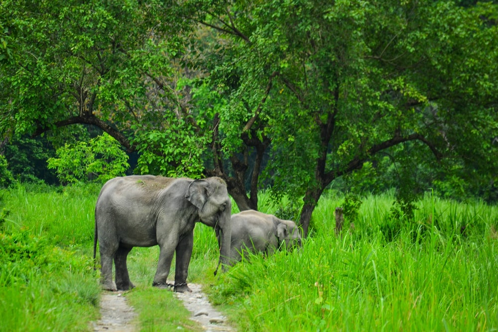 two gray elephant standing on green grass near trees