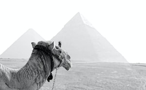 grayscale photography of camel and pyramid