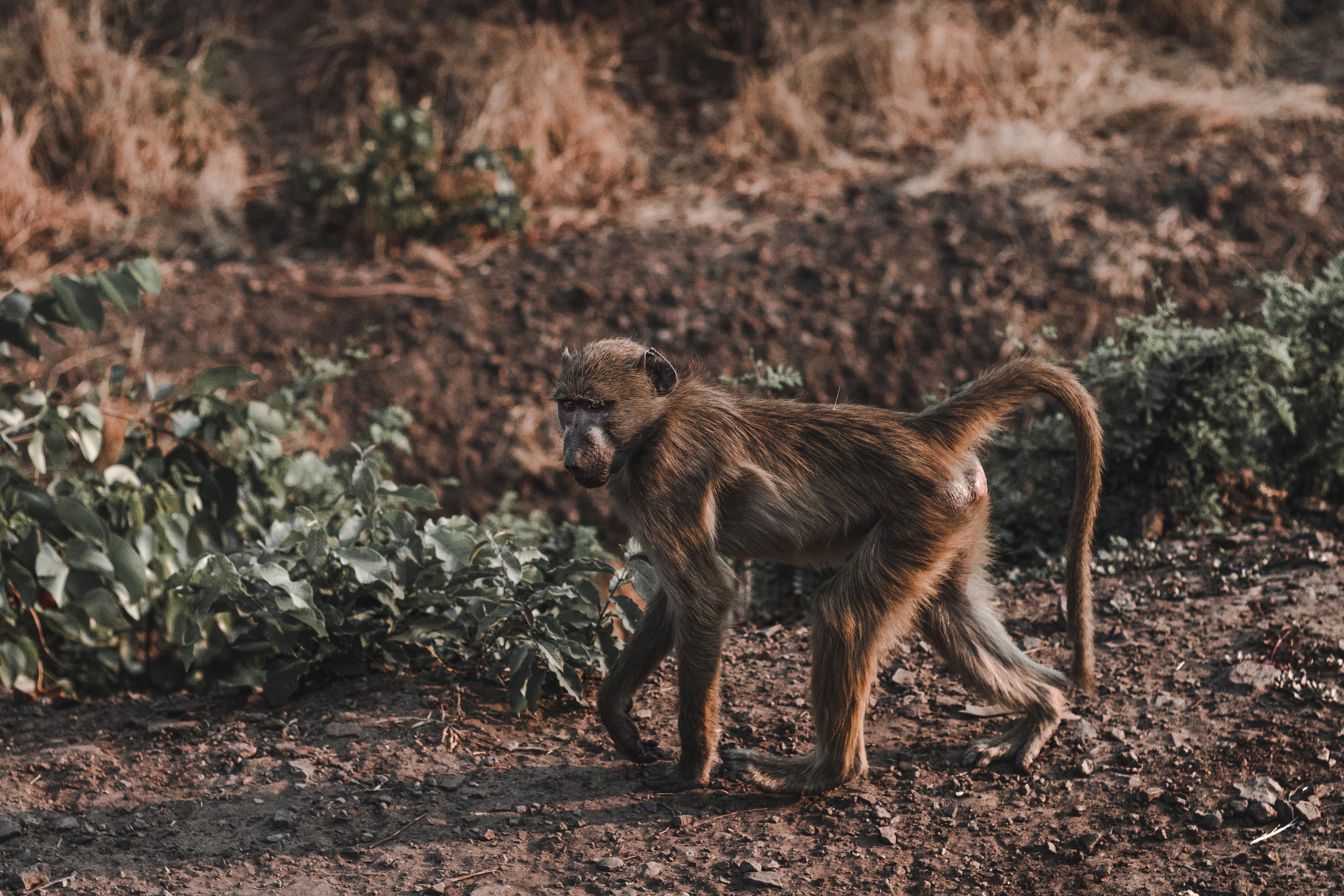 brown chimpanzee walking on ground beside grass