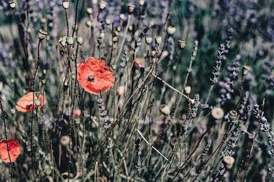 closeup photo of red poppy flower