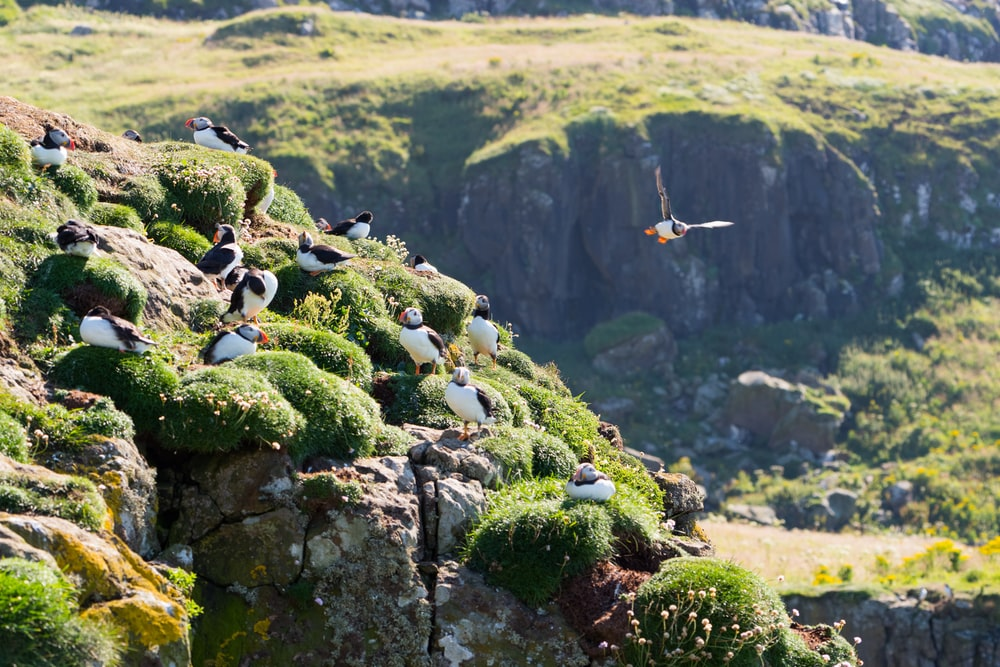 flock of puffin birds on green mountains
