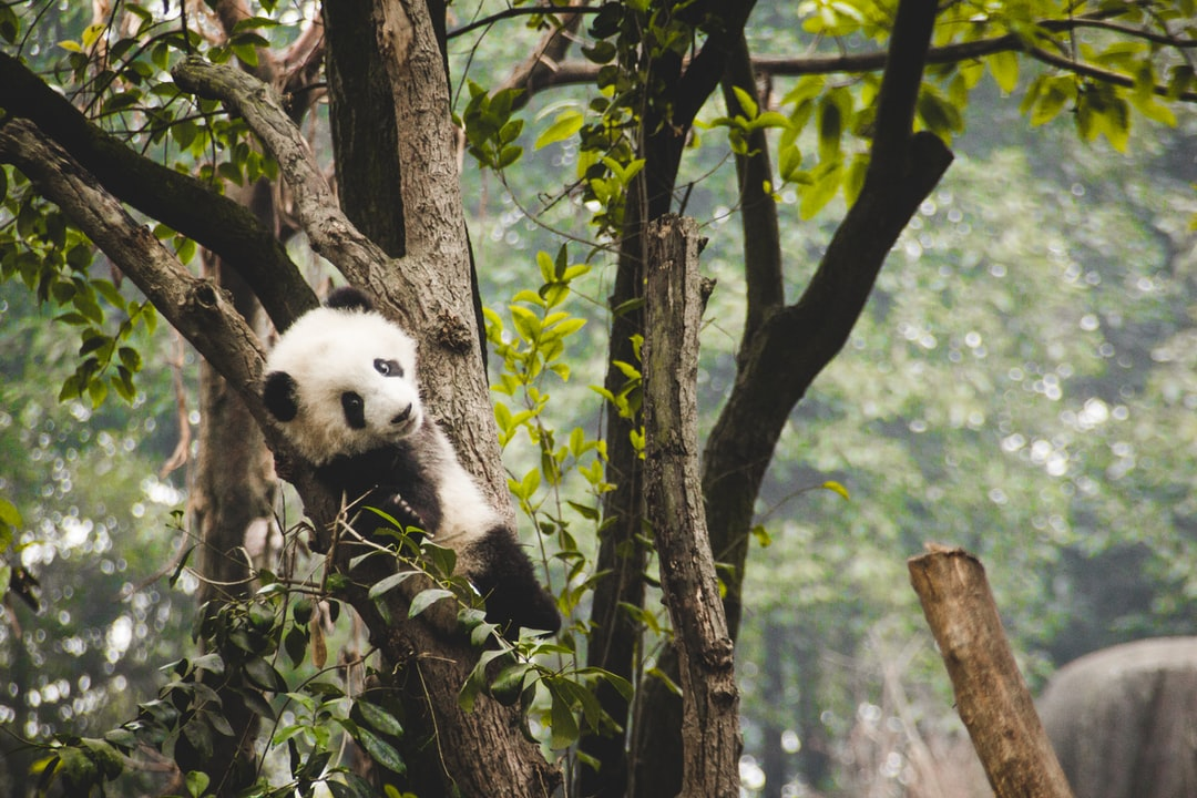 A giant panda cub chilling in a tree at the Chengdu Research Base of Giant Panda Breeding. It was such a fun visit, with the cubs running around and playing with each other and the adults gluttonously eating loads of bamboo.