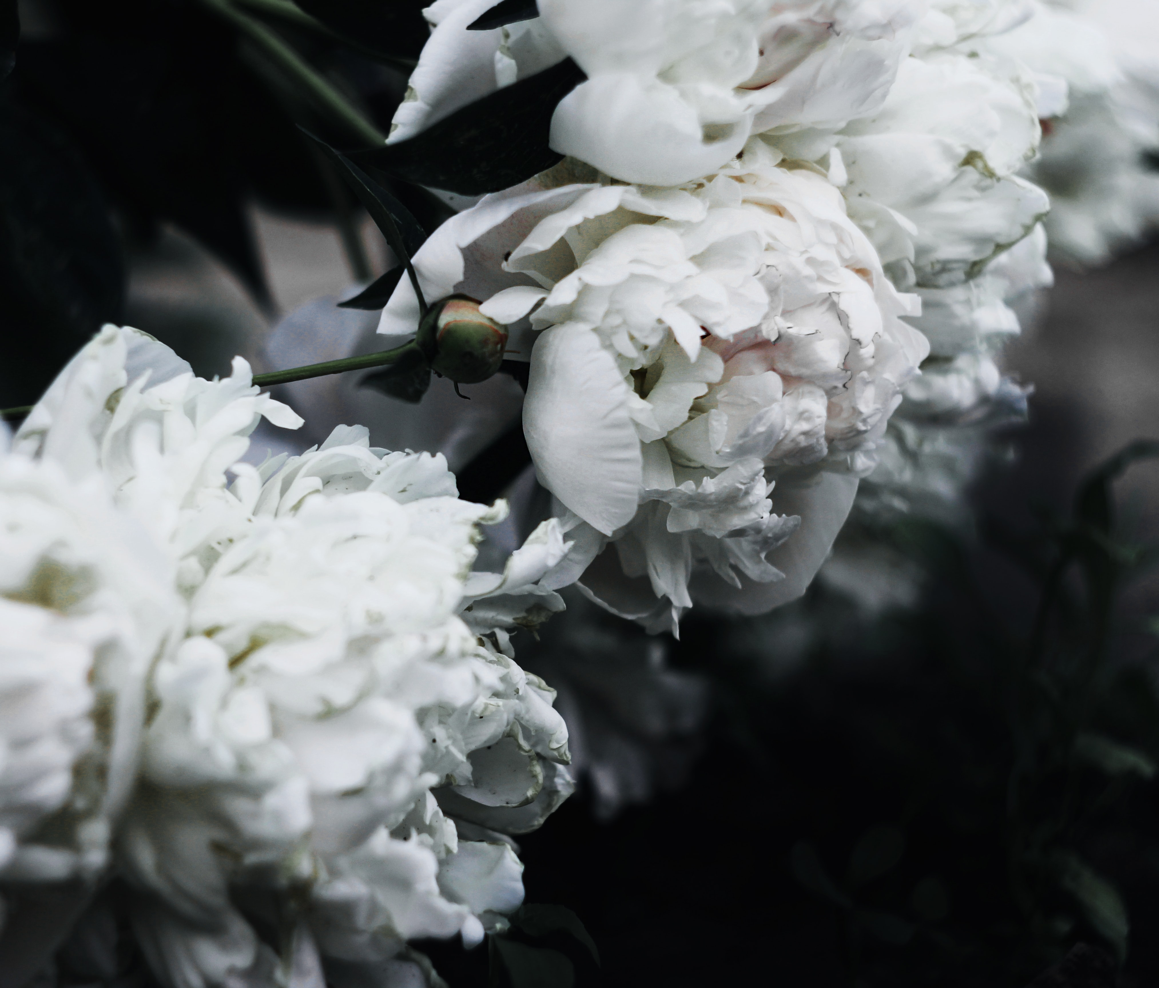 close up photography of white clustered flowers