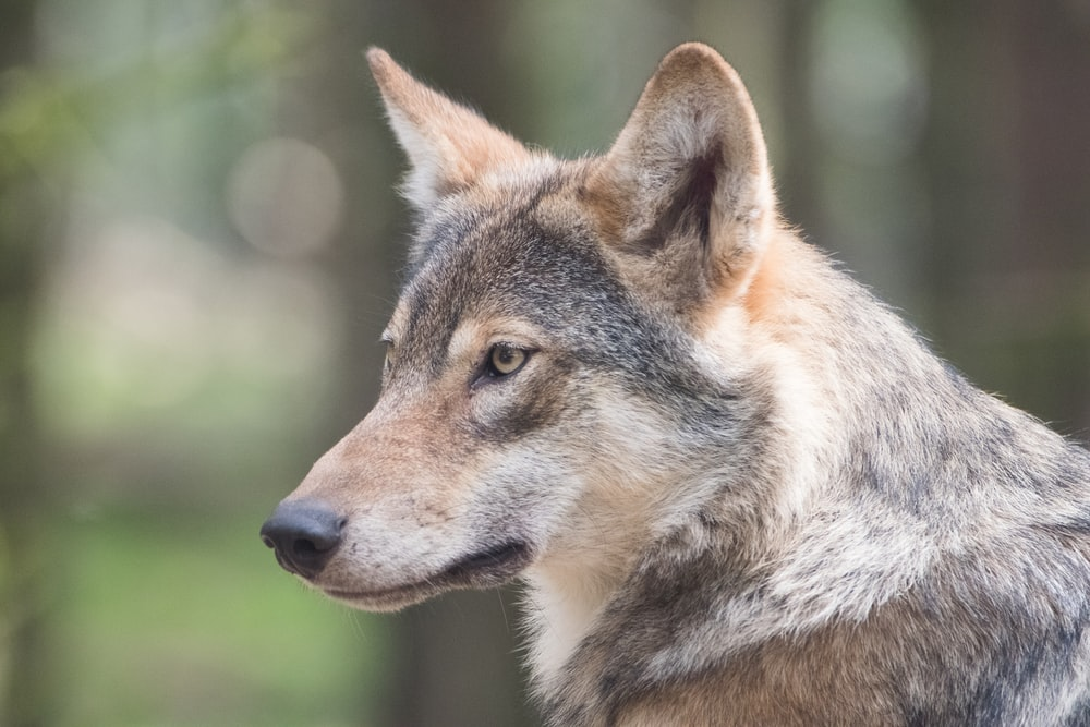 Wisconsin Hunters Kill 216 Wolves in Three Days, Far Exceeding State Quota