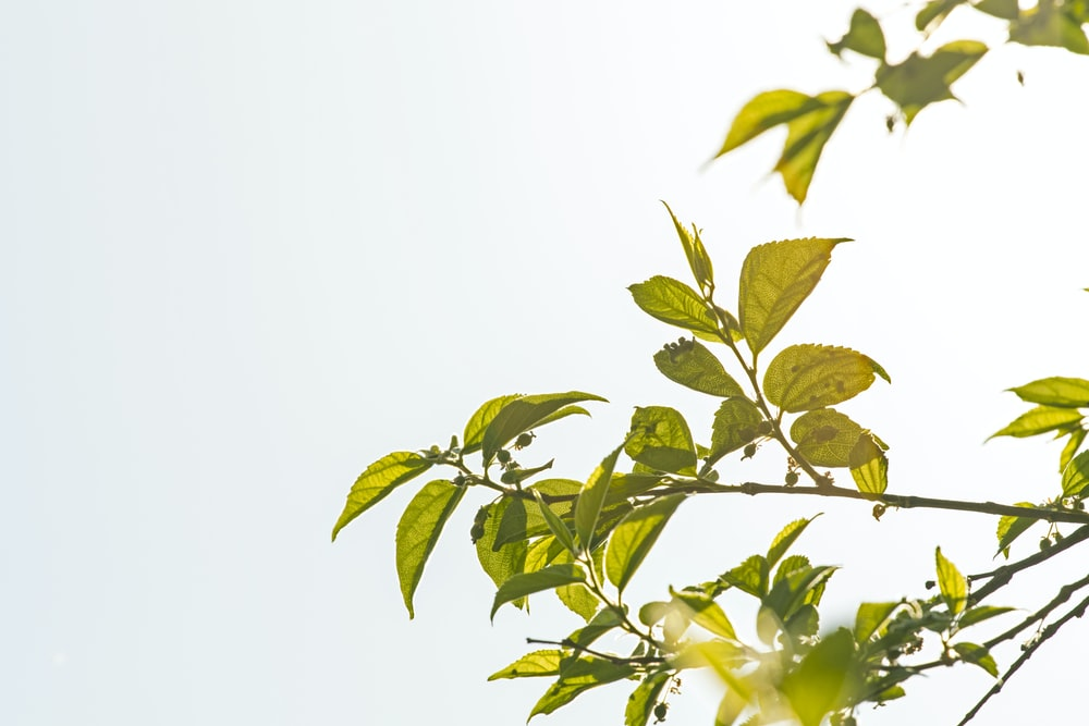 closeup photo of green leafed tree under white clouds