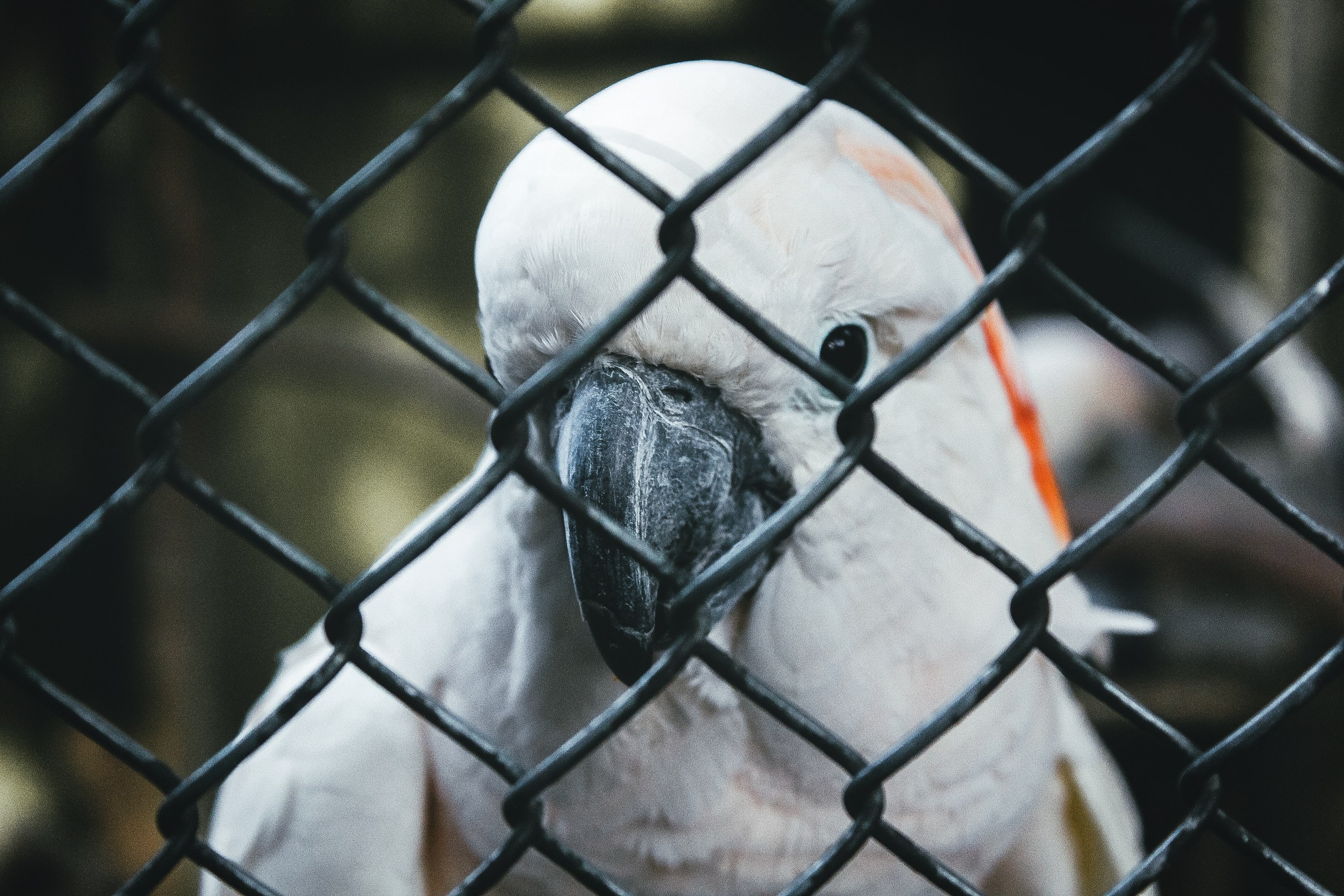 white parrot behind of cyclone fence