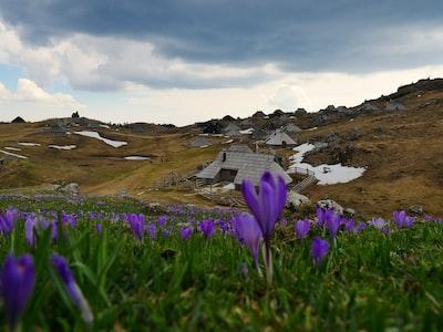 purple flower field under gray sky during daytime