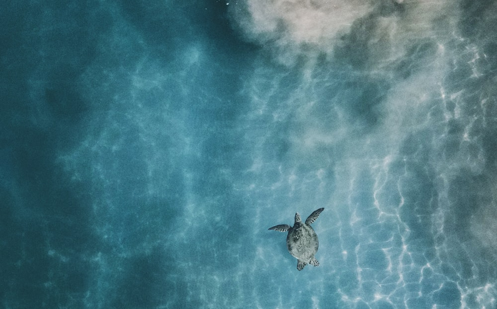 aerial photo of sea turtle in body of calm water