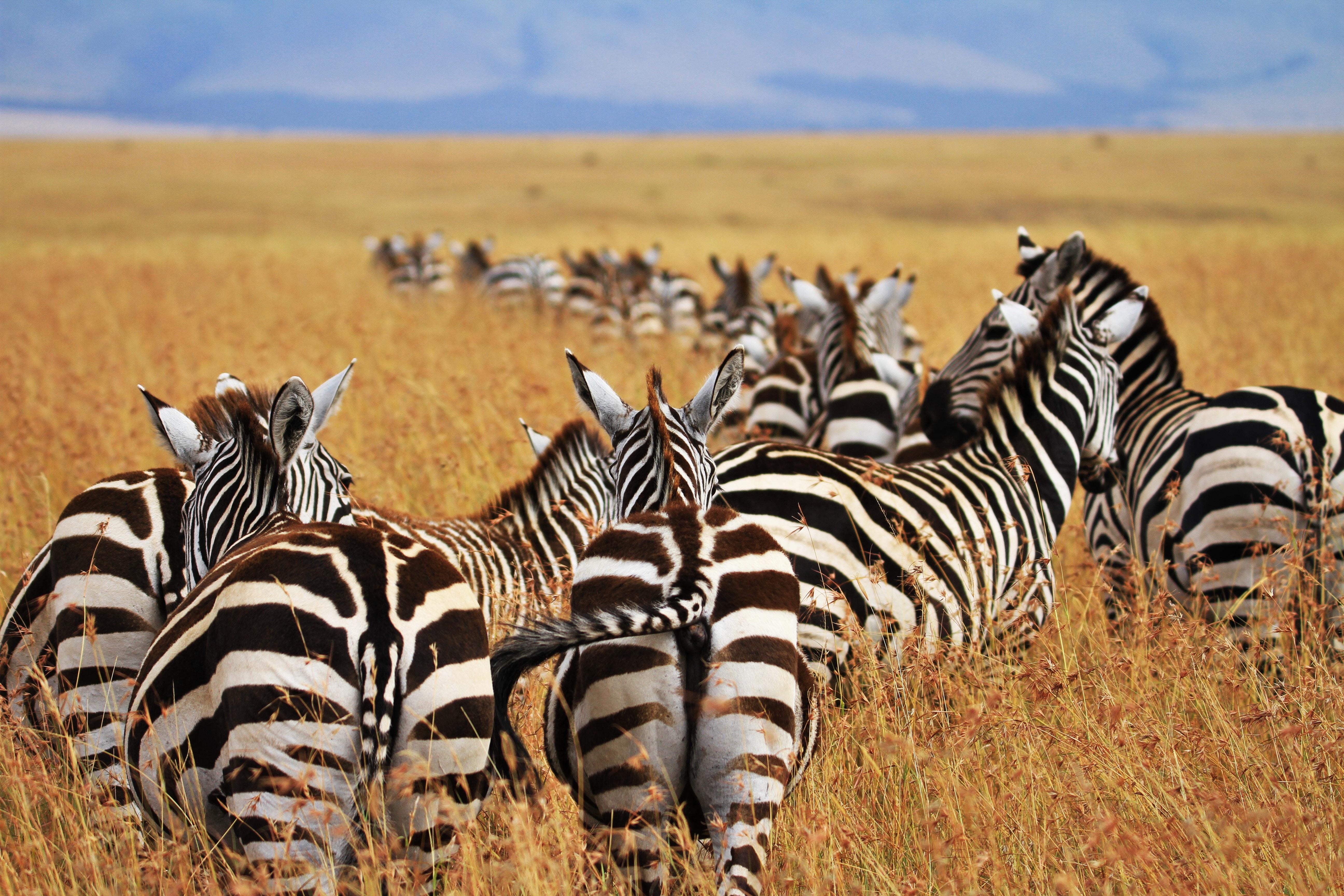 dazzle of zebras walking on desert during daytime