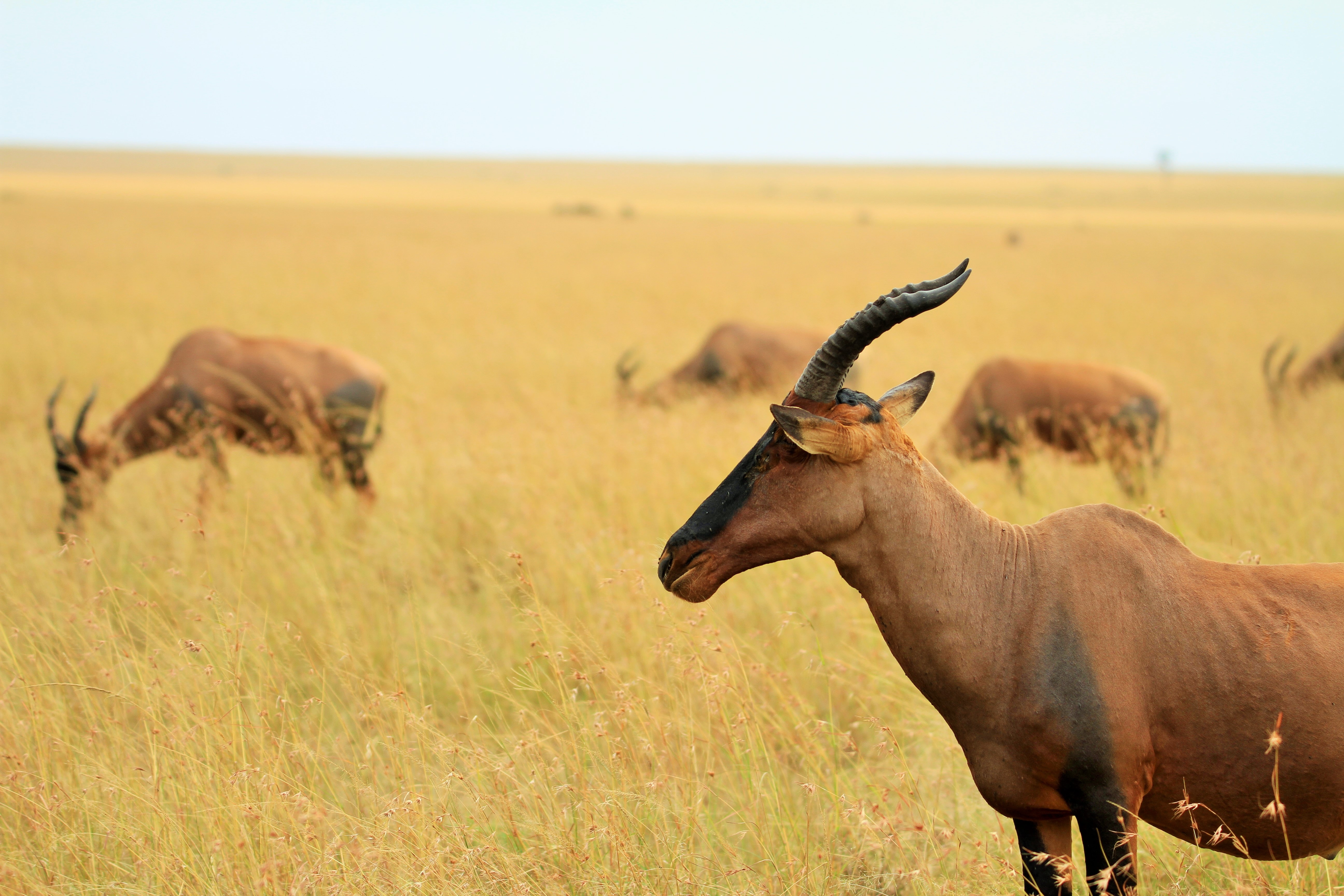 selective focus photo of brown goat standing on brown grass field